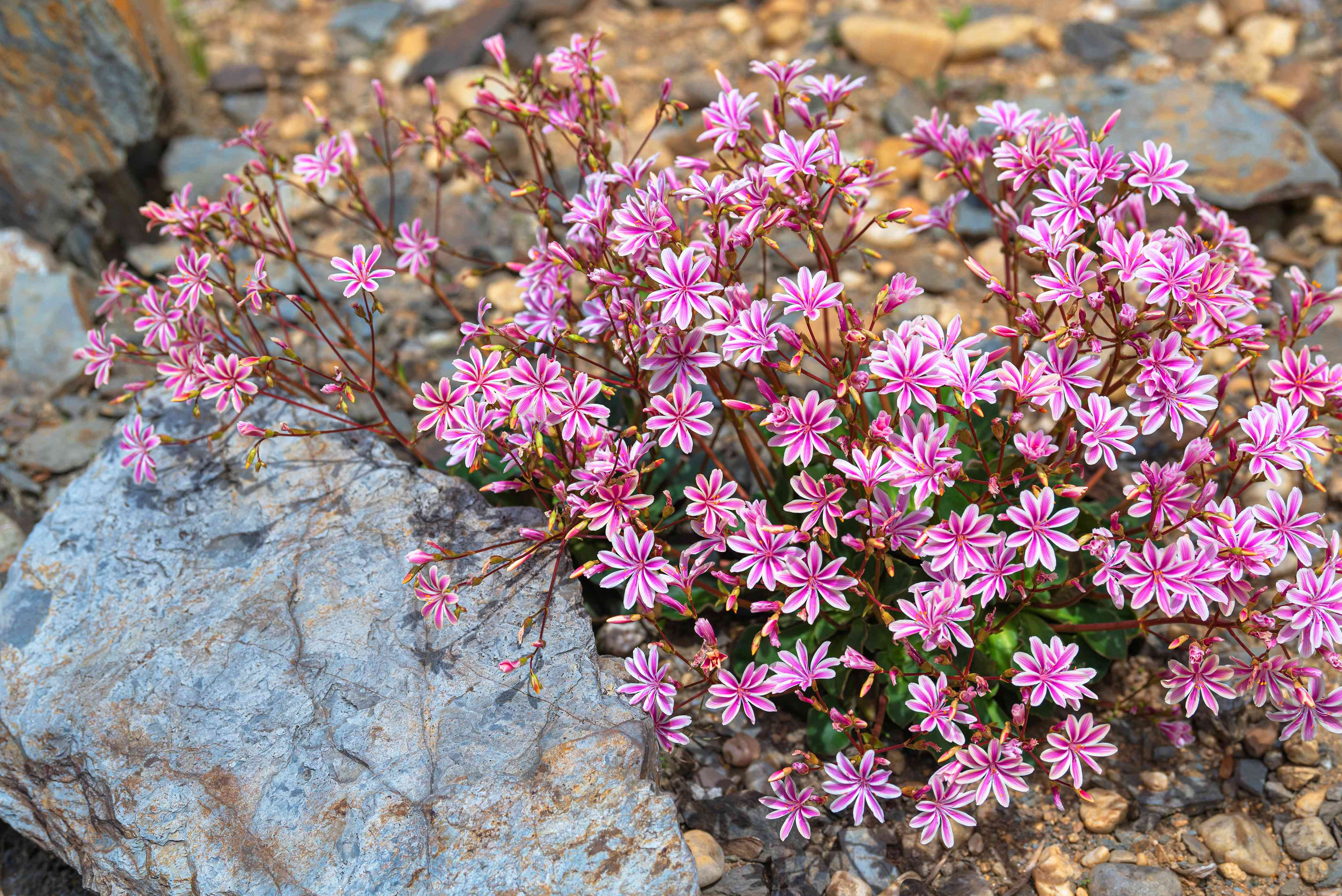 Rainbow lewisia plant with pink and white flowers clustered around rock