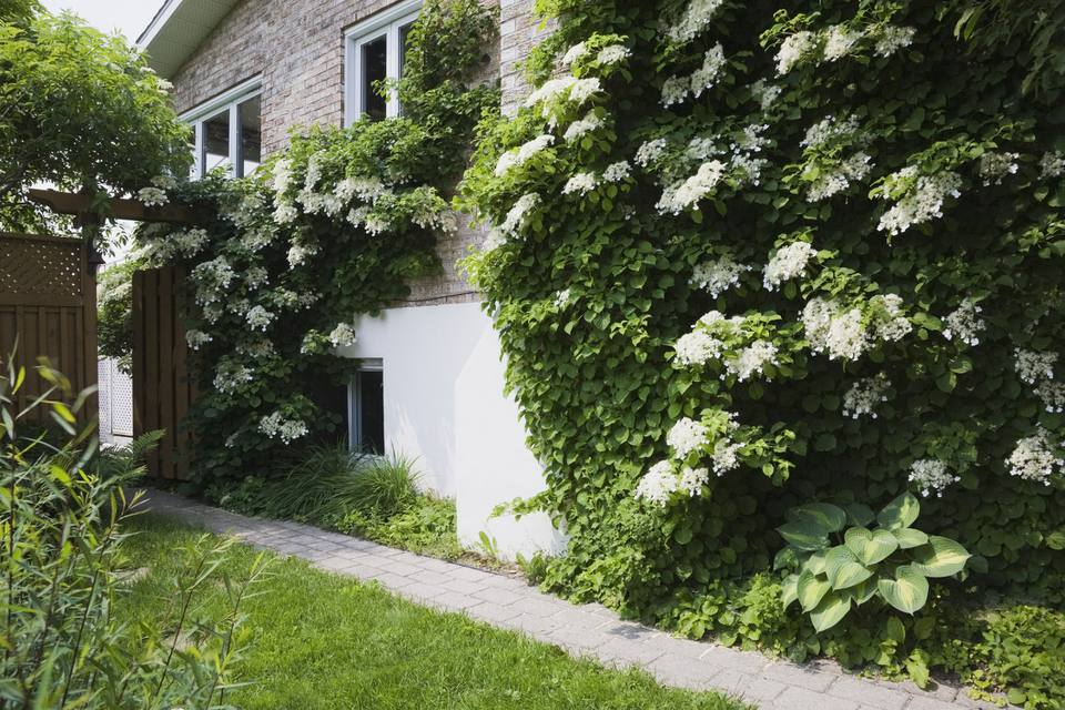 Climbing Hydrangea on House