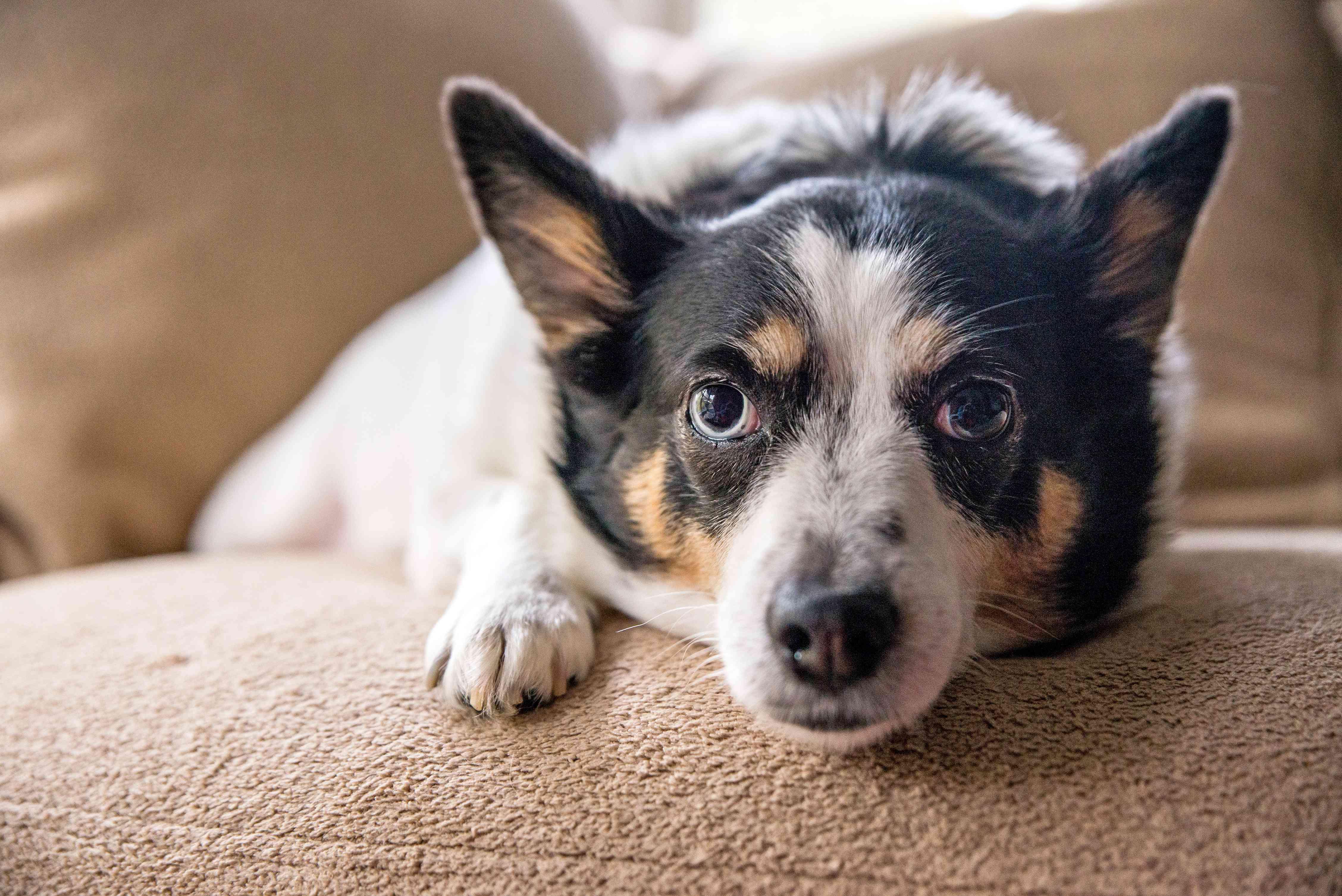 dog on a microfiber sofa