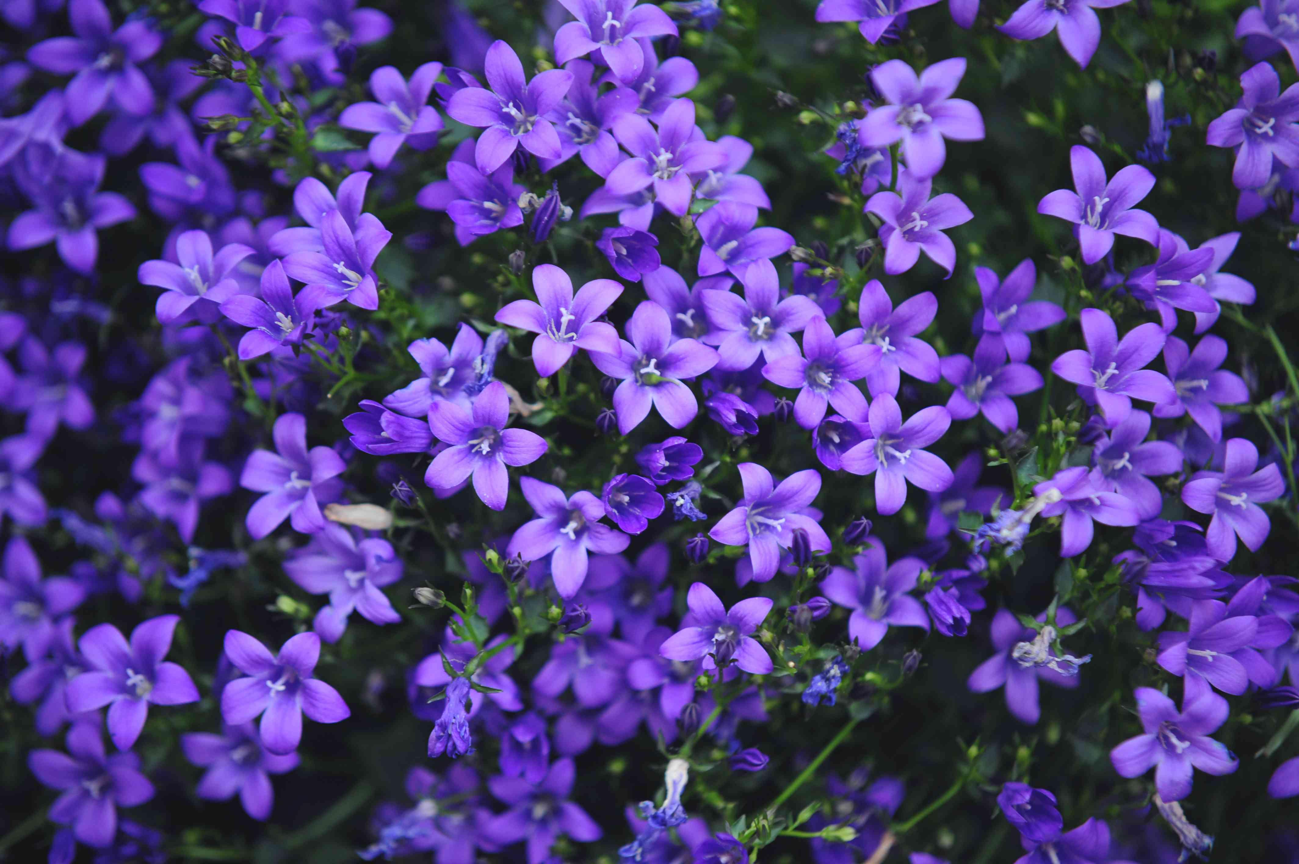 'Bavaria blue' campanula flowers with lavender star-shaped petals
