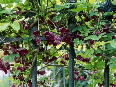 Top 6 perennial flowering vines akebia vines bear chocolate scented flowers mightylinksfo