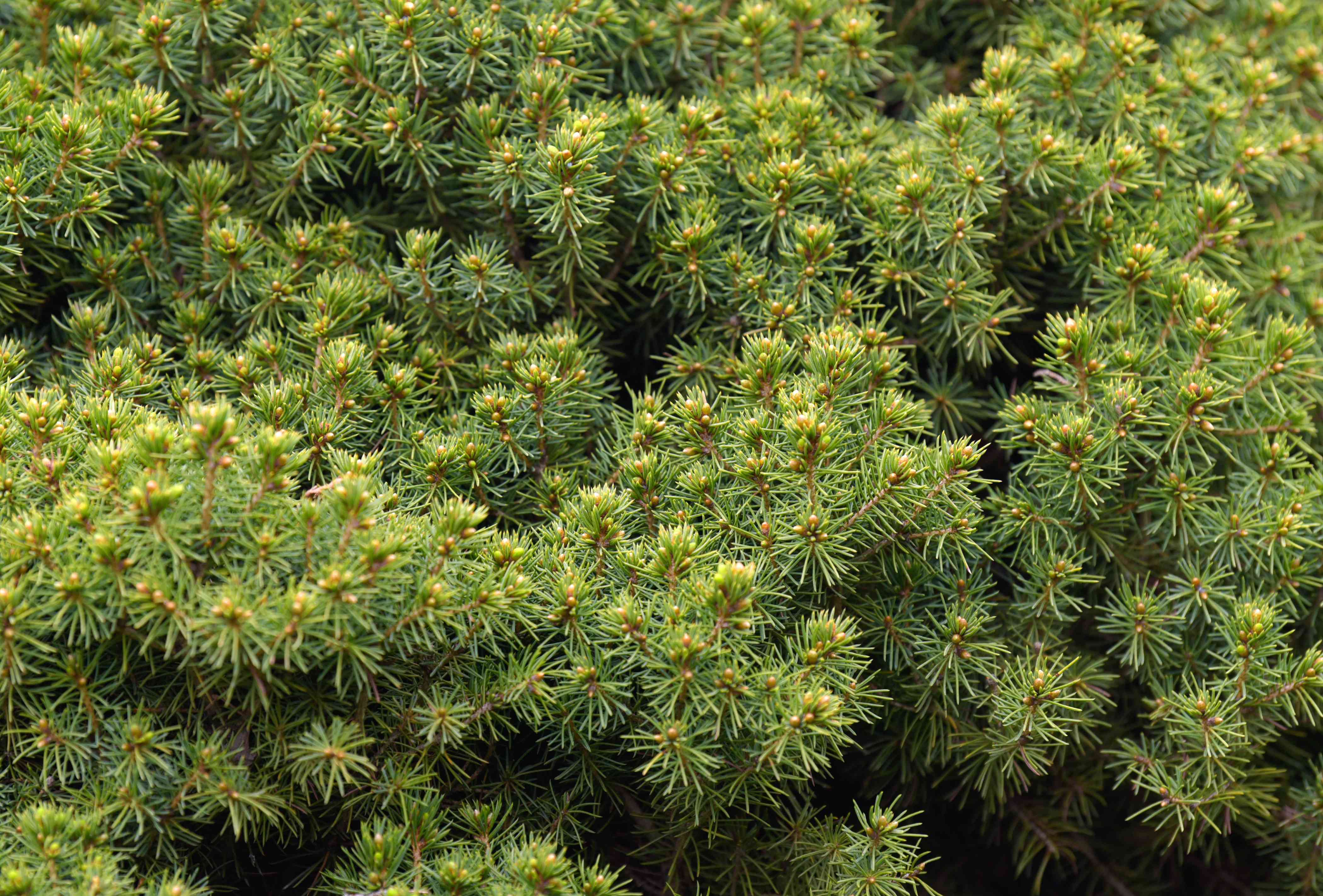 Dwarf Alberta tree branches with spiky-leafed branches