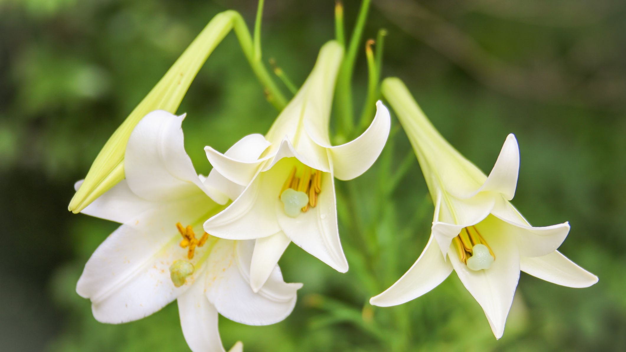 How To Grow And Care For Easter Lilies
