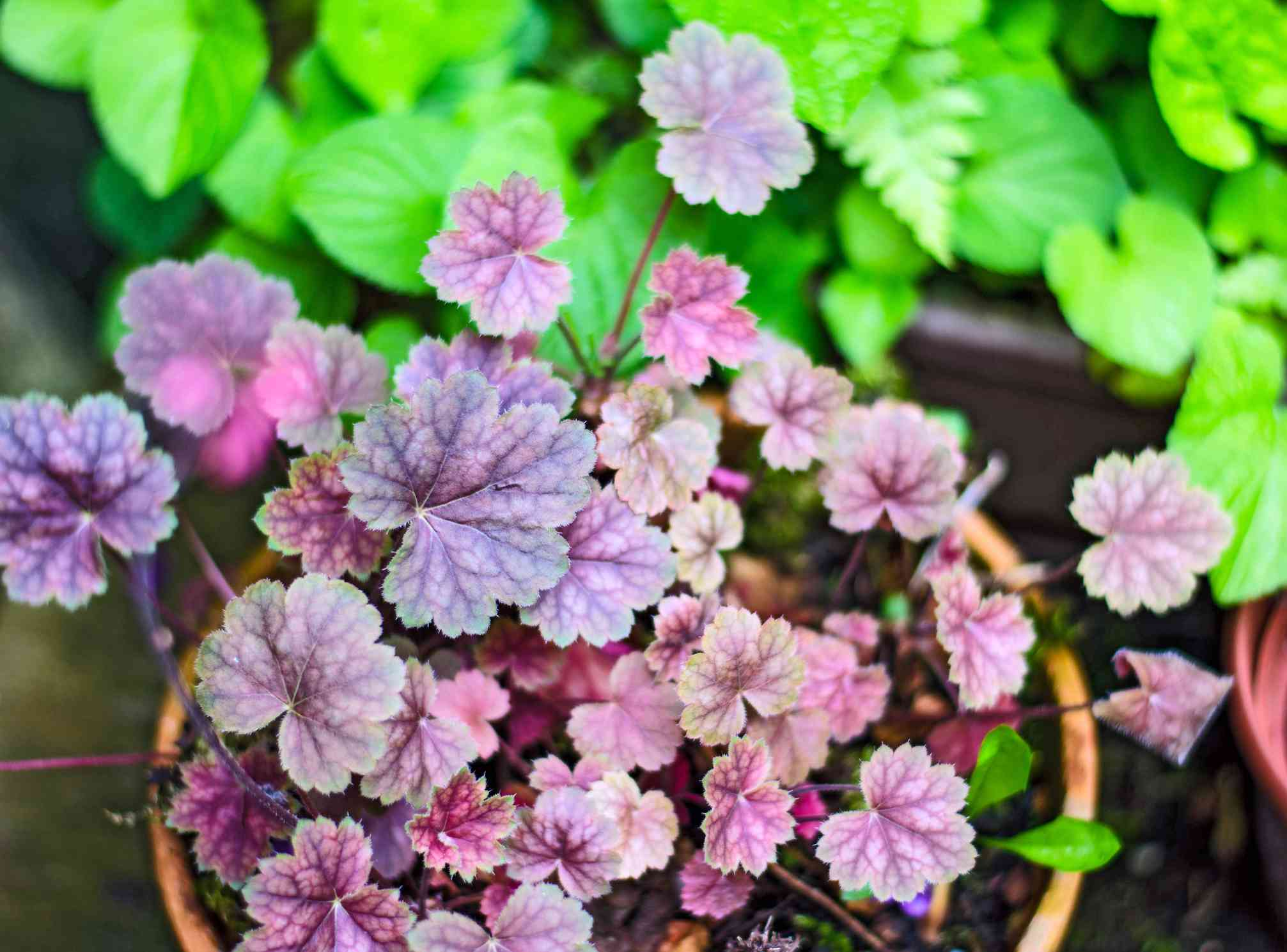 Coral Bells in planter