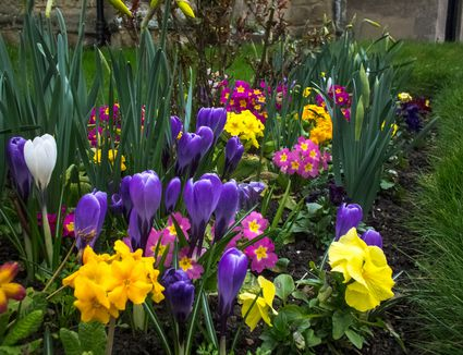 Planting growing and caring for hyacinth bulbs 5 tips for a better spring flower garden mightylinksfo