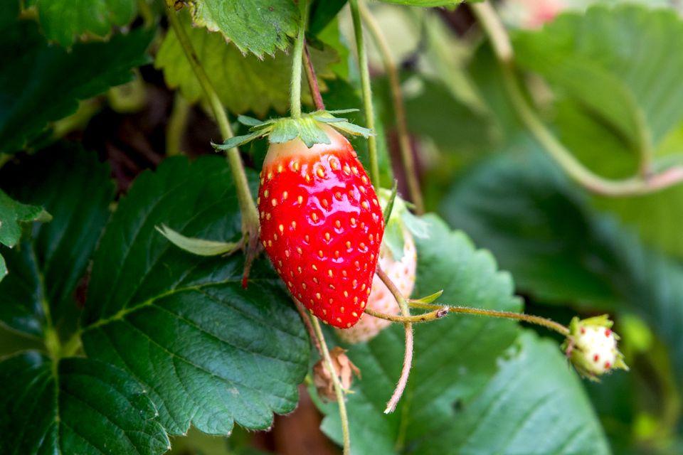 almost ripe strawberry