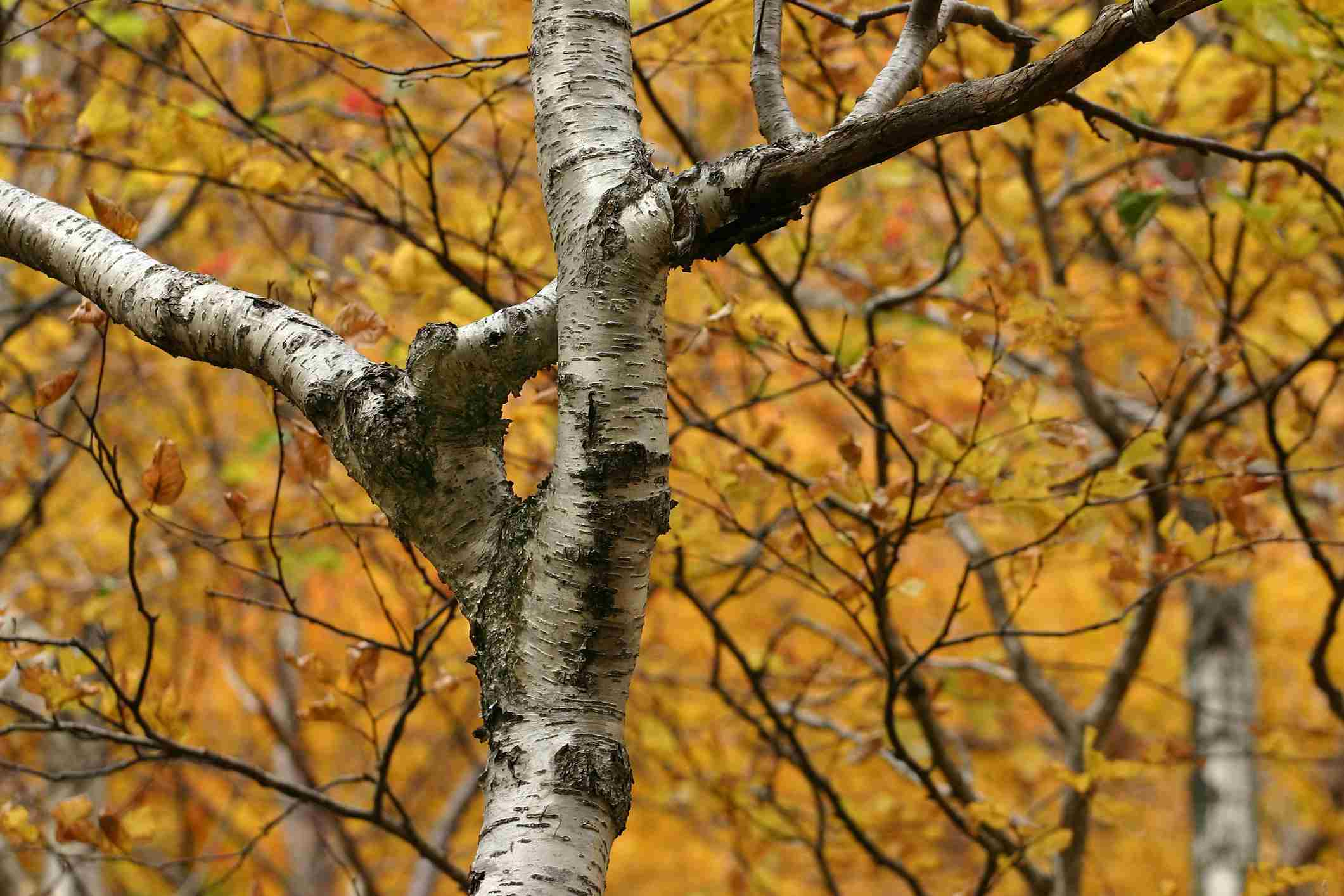 Paper Birch Tree surrounded by fall colors. Smugglers Notch, Stowe, Vermont.