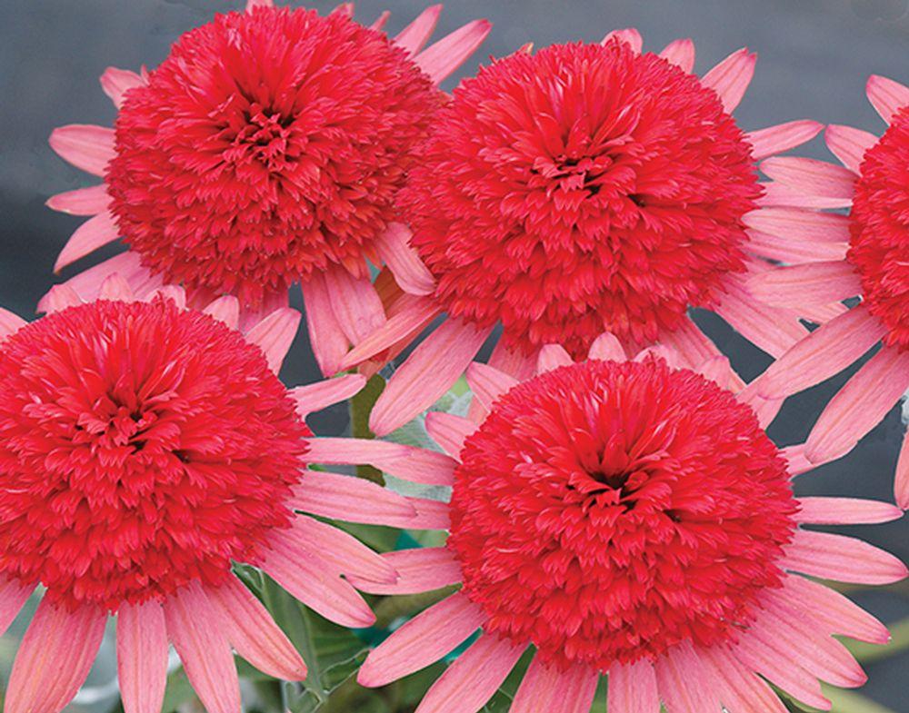 24 great varieties of echinacea coneflower mightylinksfo