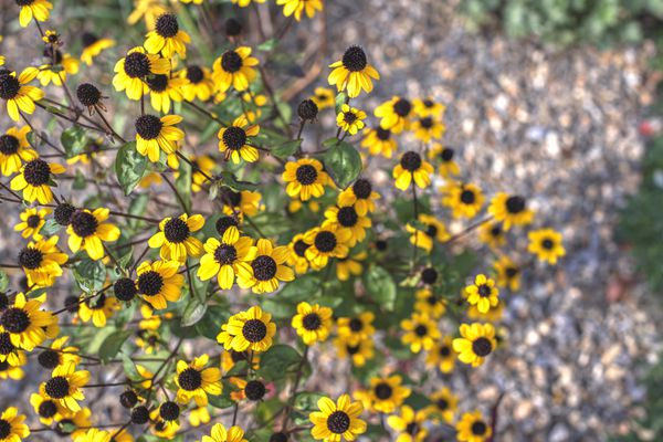 Brown-eyed susan wildflower plant with small yellow flowers with brown button-like centers on thin stems from above