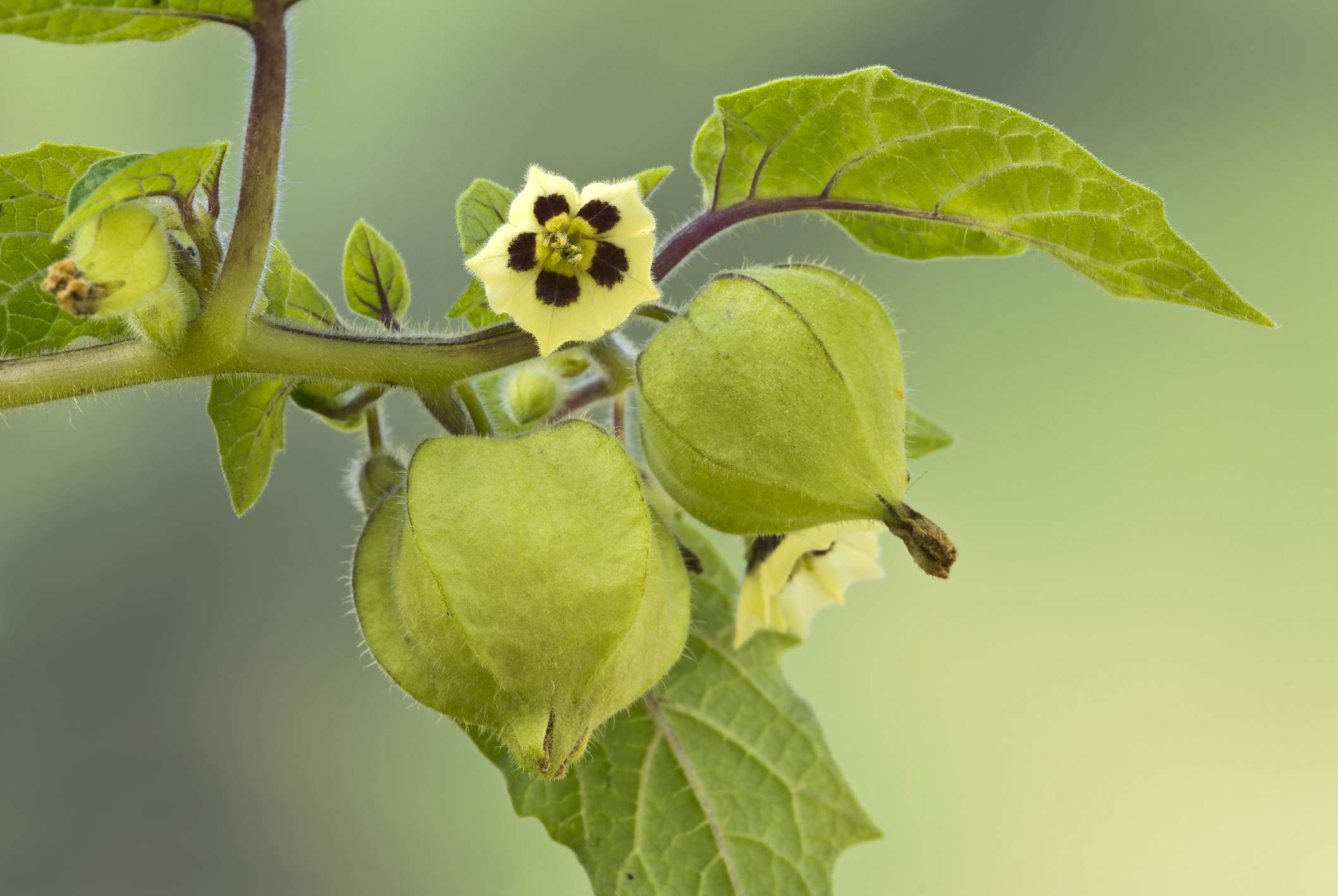 Unripe green husk leaves and bloom of the Ground Cherry