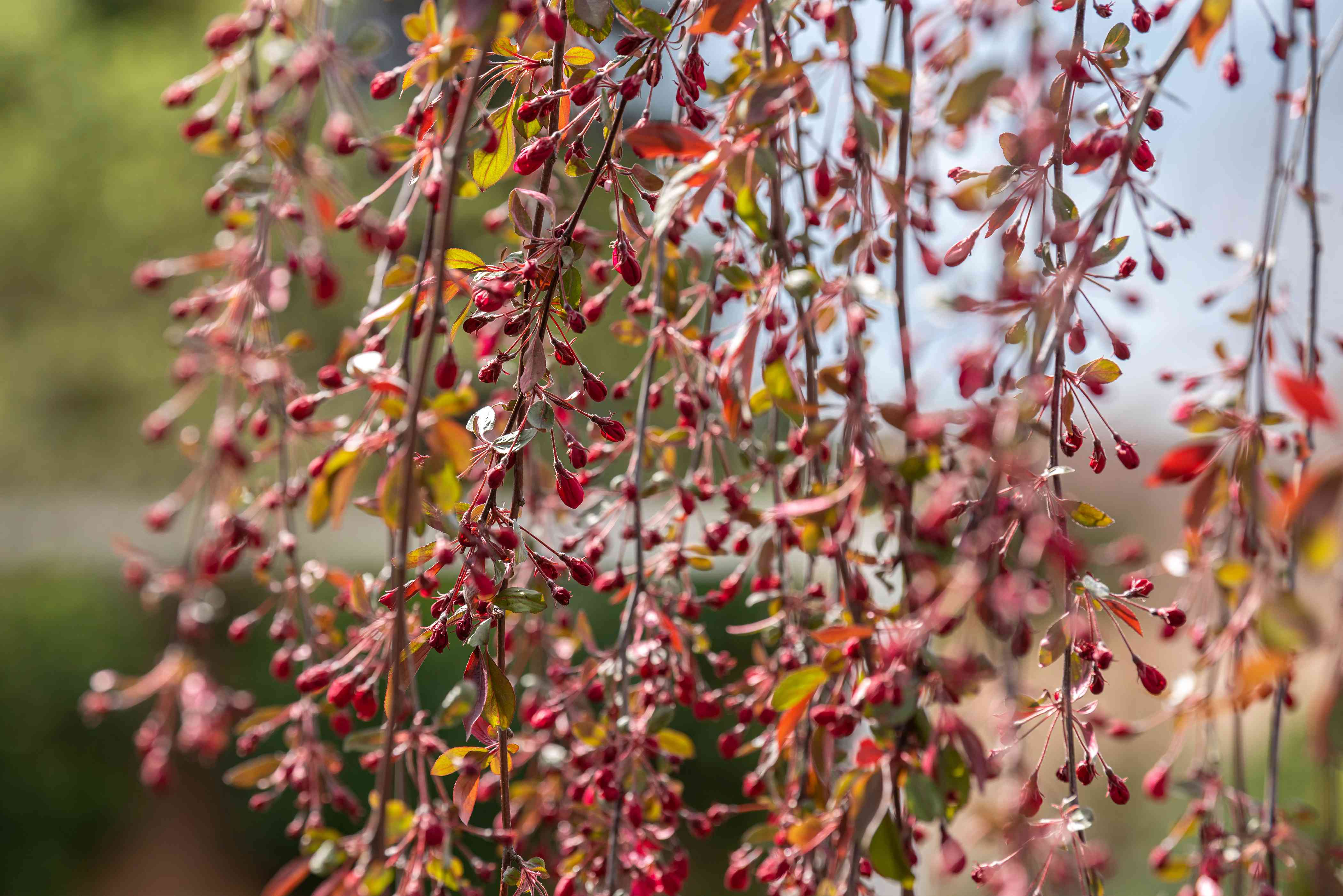 Weeping crabapple tree branches with small red fruit and yellow leaves closeup