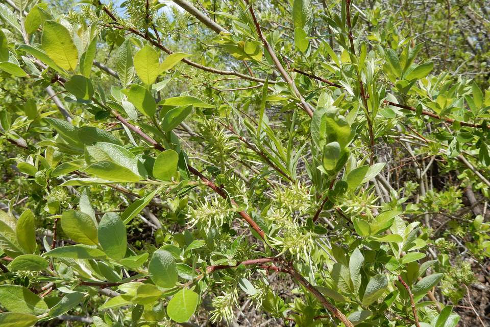 Common species of willow trees and shrubs a bebb willow mightylinksfo