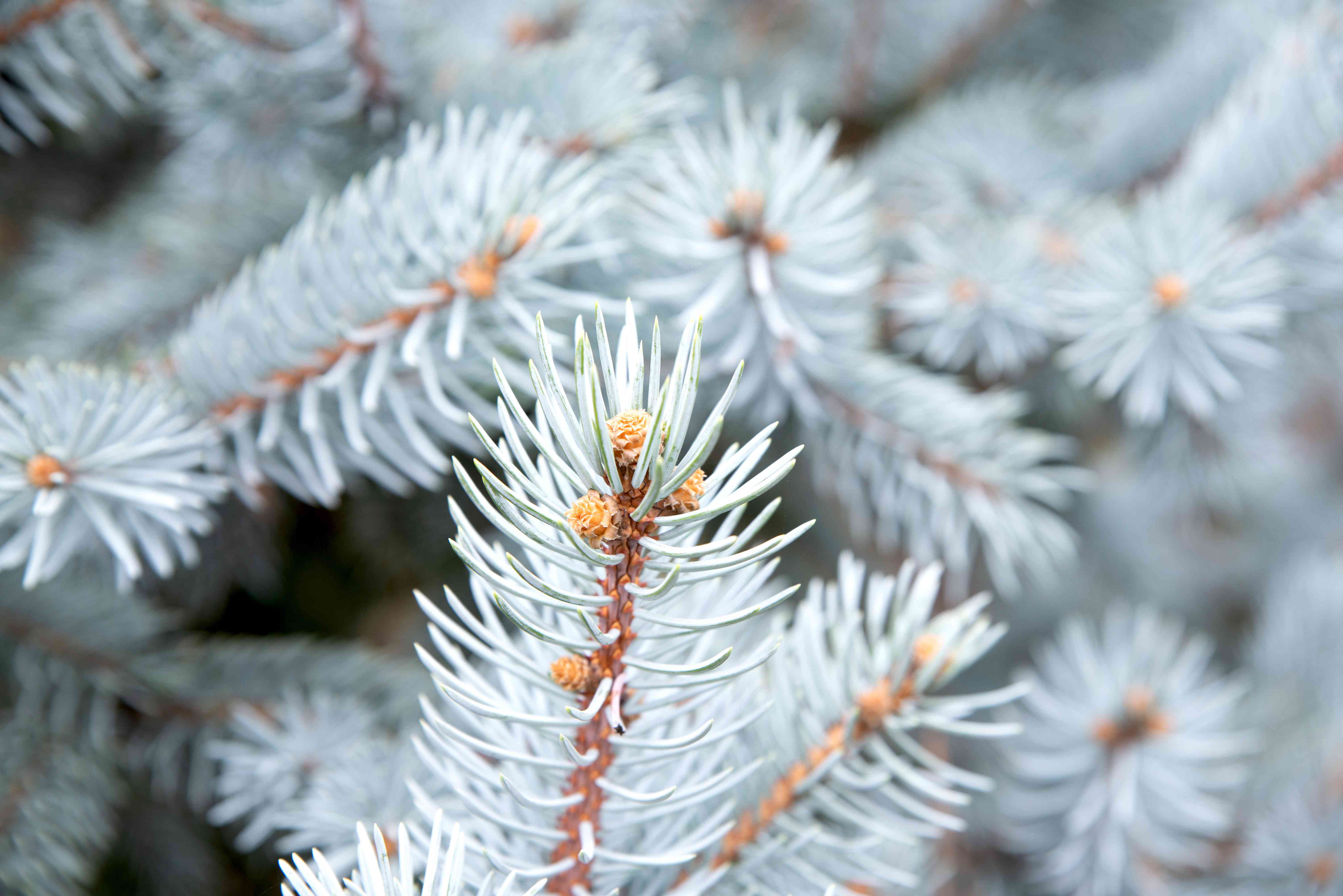 closeup of a Colorado blue spruce