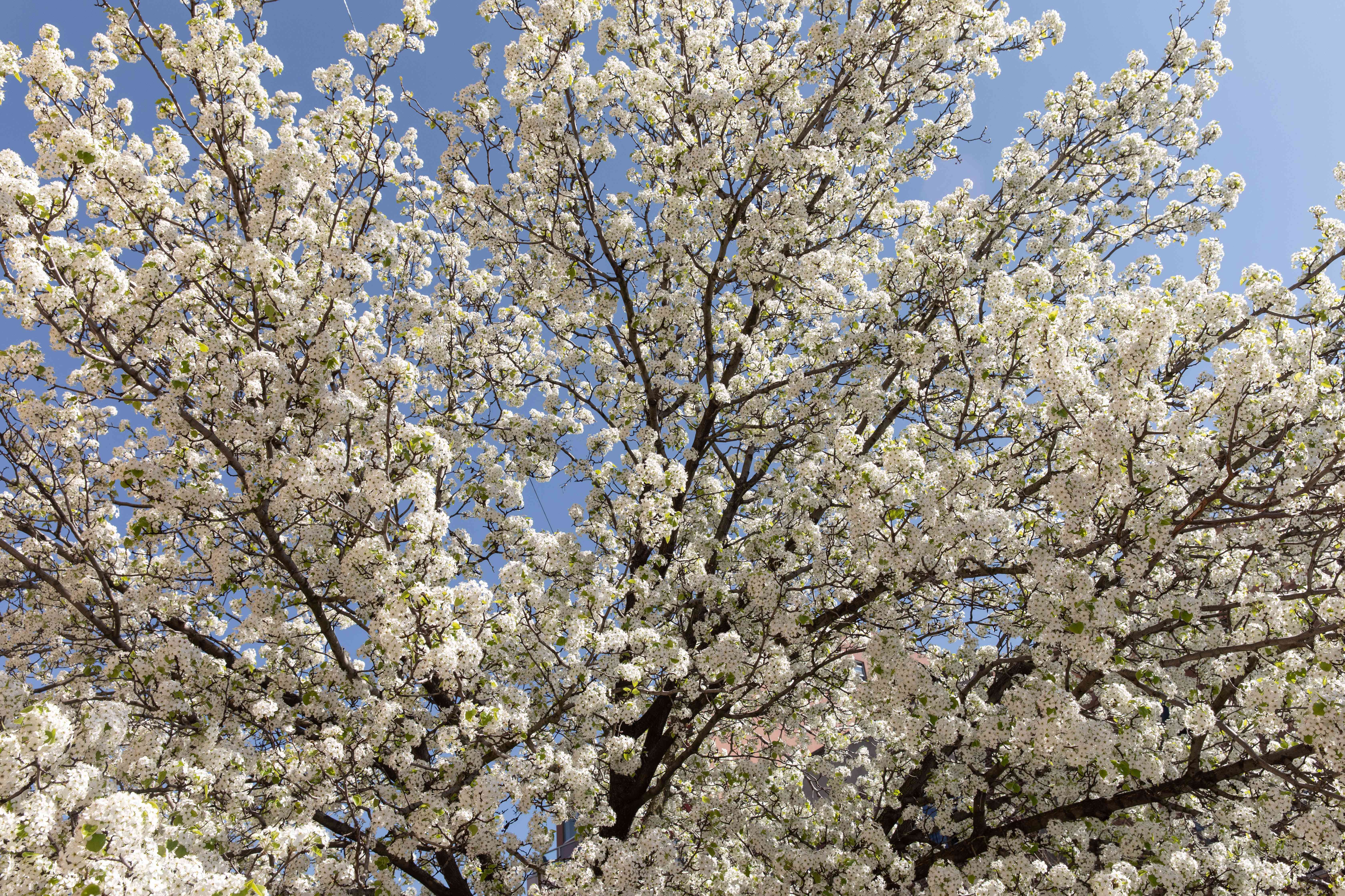 Callery pear tree with dark branches and small white flower clusters