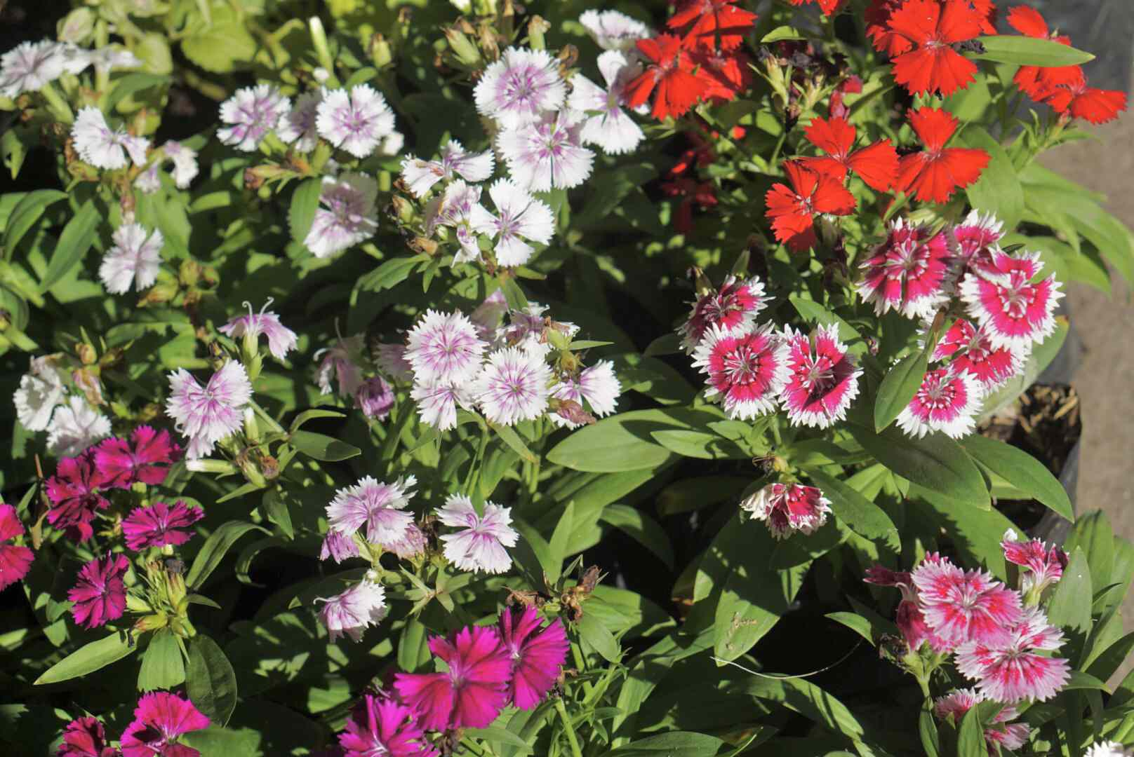 Sweet Williams plants with pink, white and red circular flowers in sun lit garden
