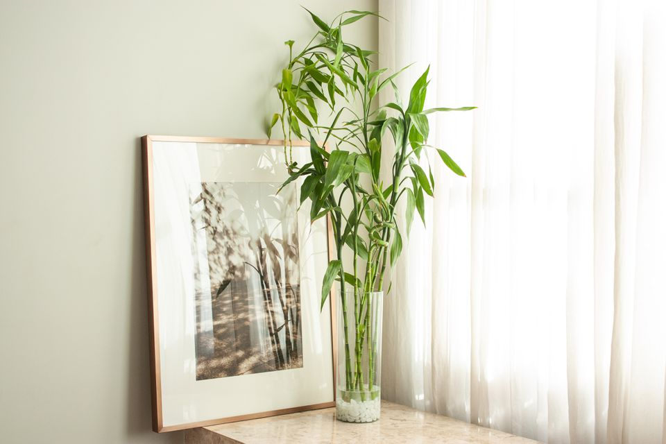 lucky bamboo plant by a window