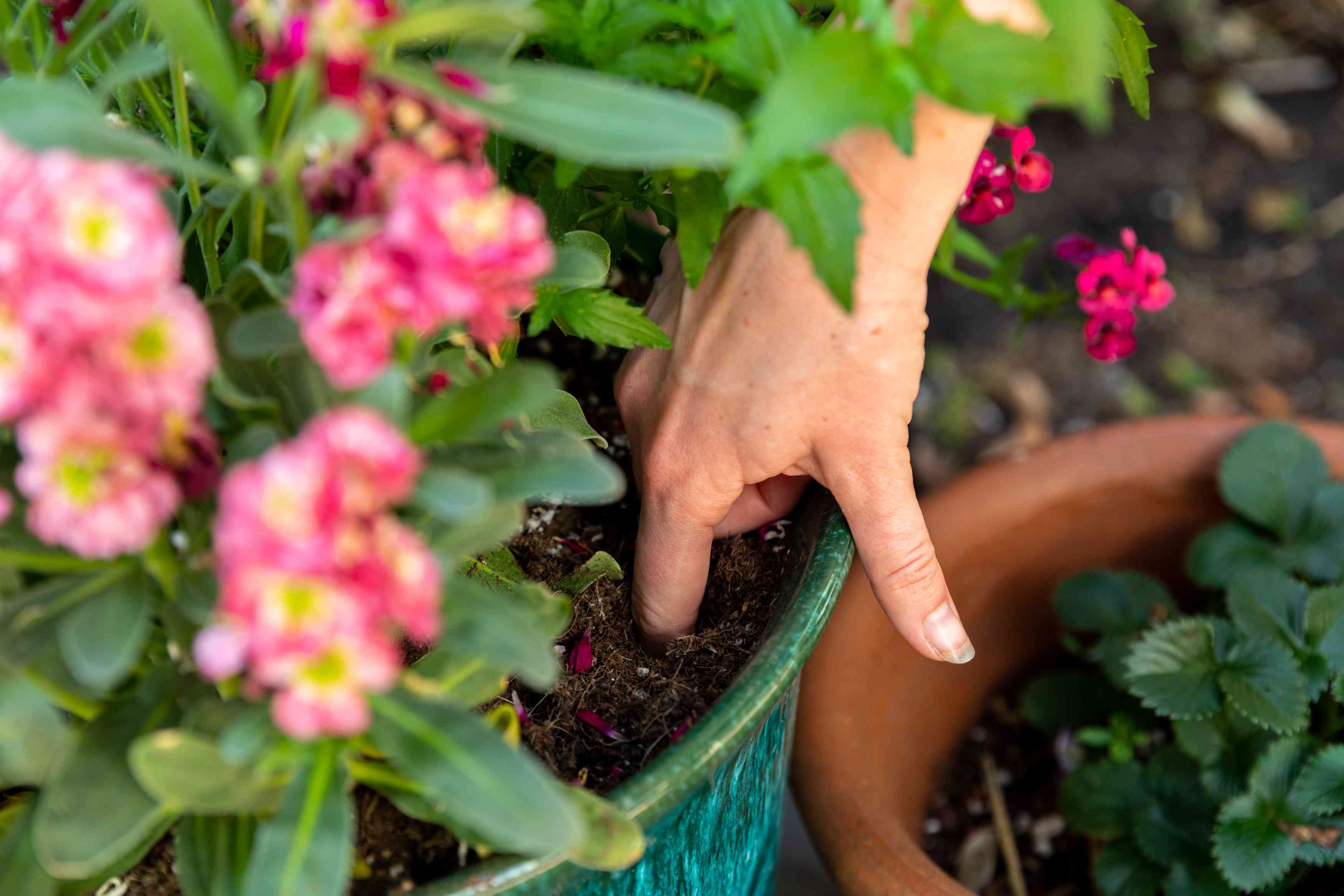 Finger dipped into container soil to check moisture levels in potted plant with pink flowers