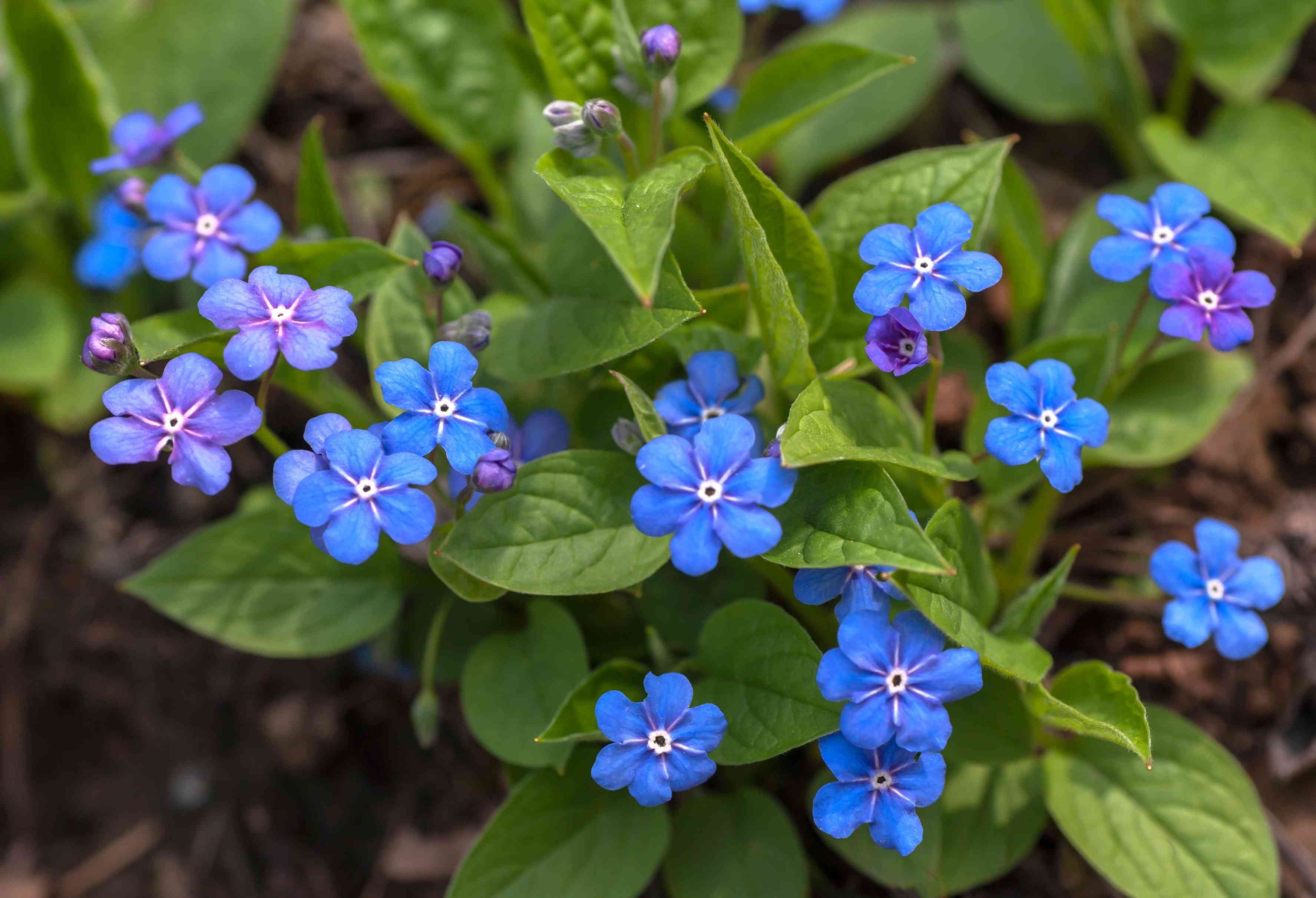 Barrenwort perennial plant with royal blue and purple flowers