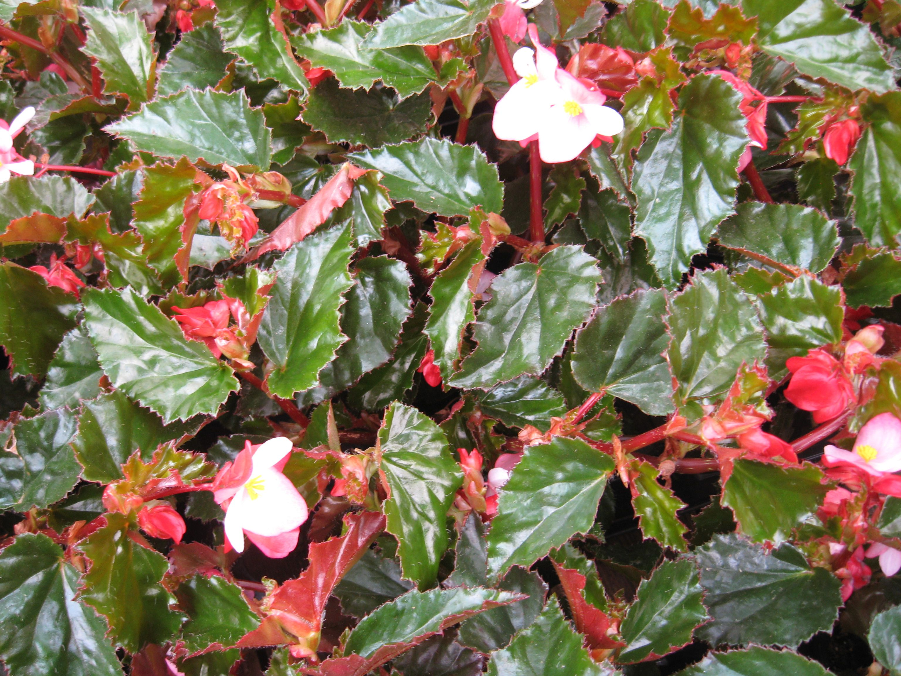 Sun begonia plants in a group.