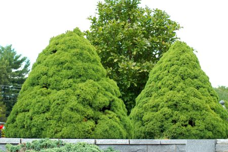 Dwarf Alberta Spruce Care And Growing Guide