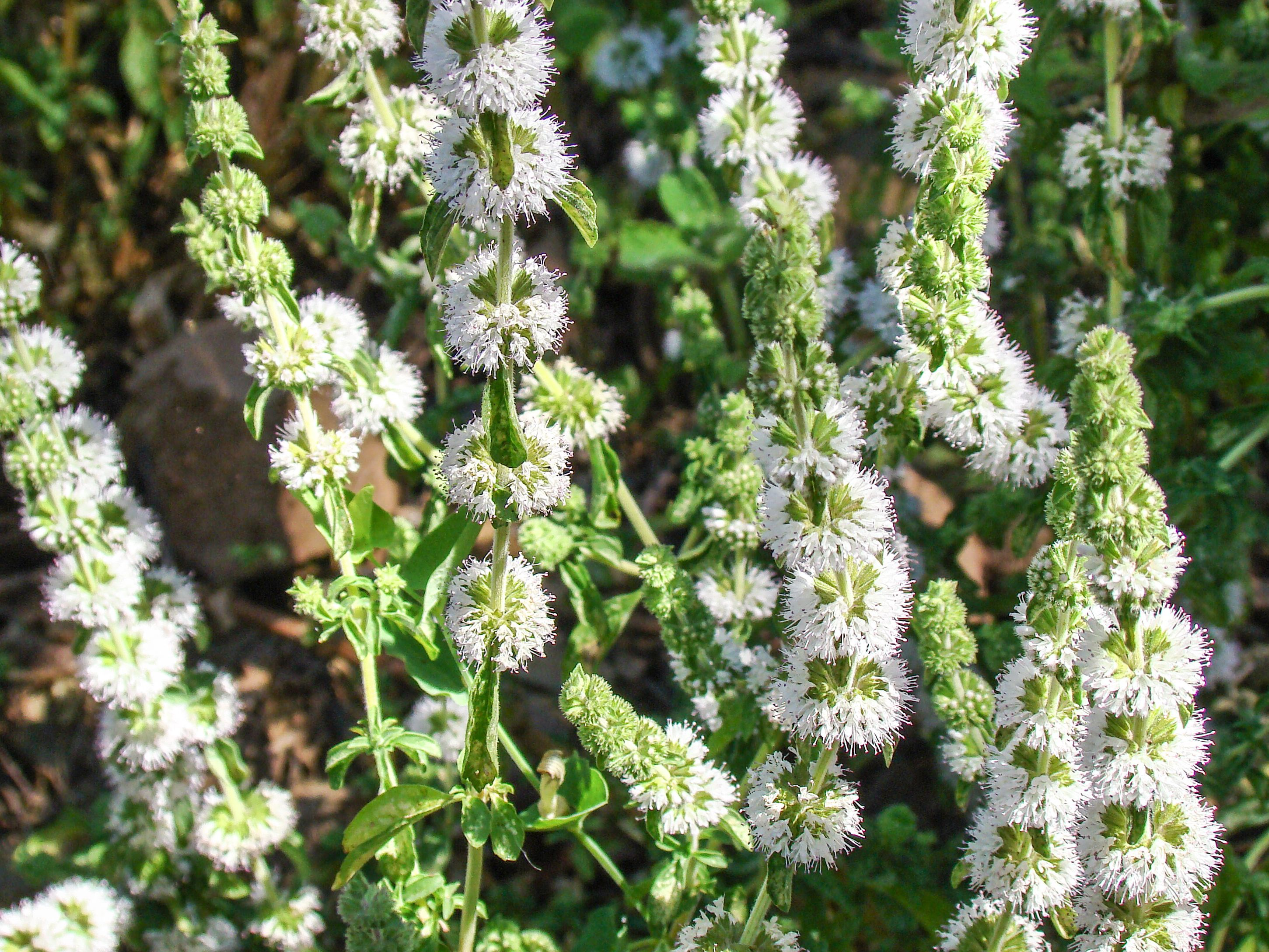 Pennyroyal Plant: Care and Growing Guide