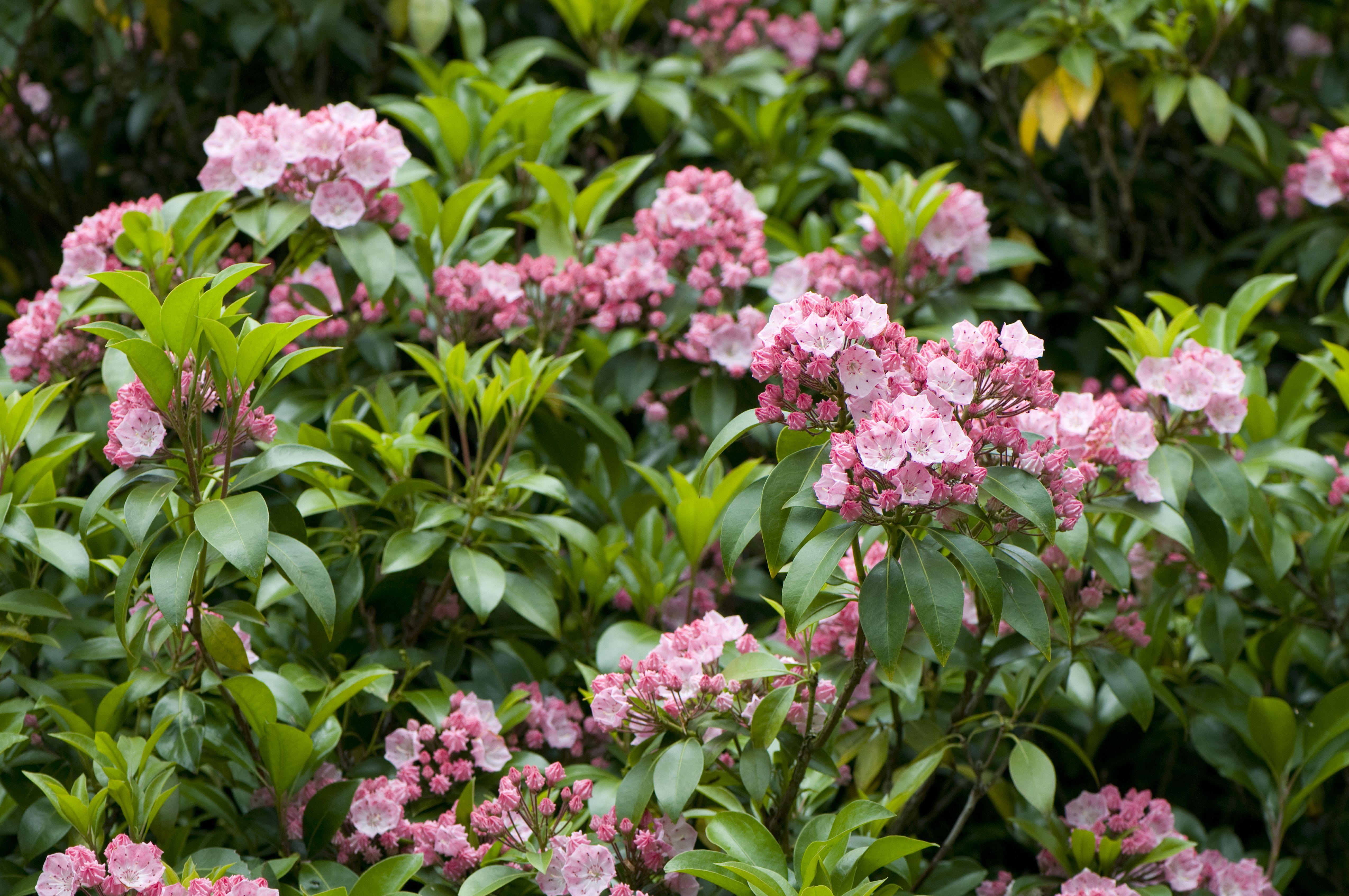 Laurel de montaña en flor