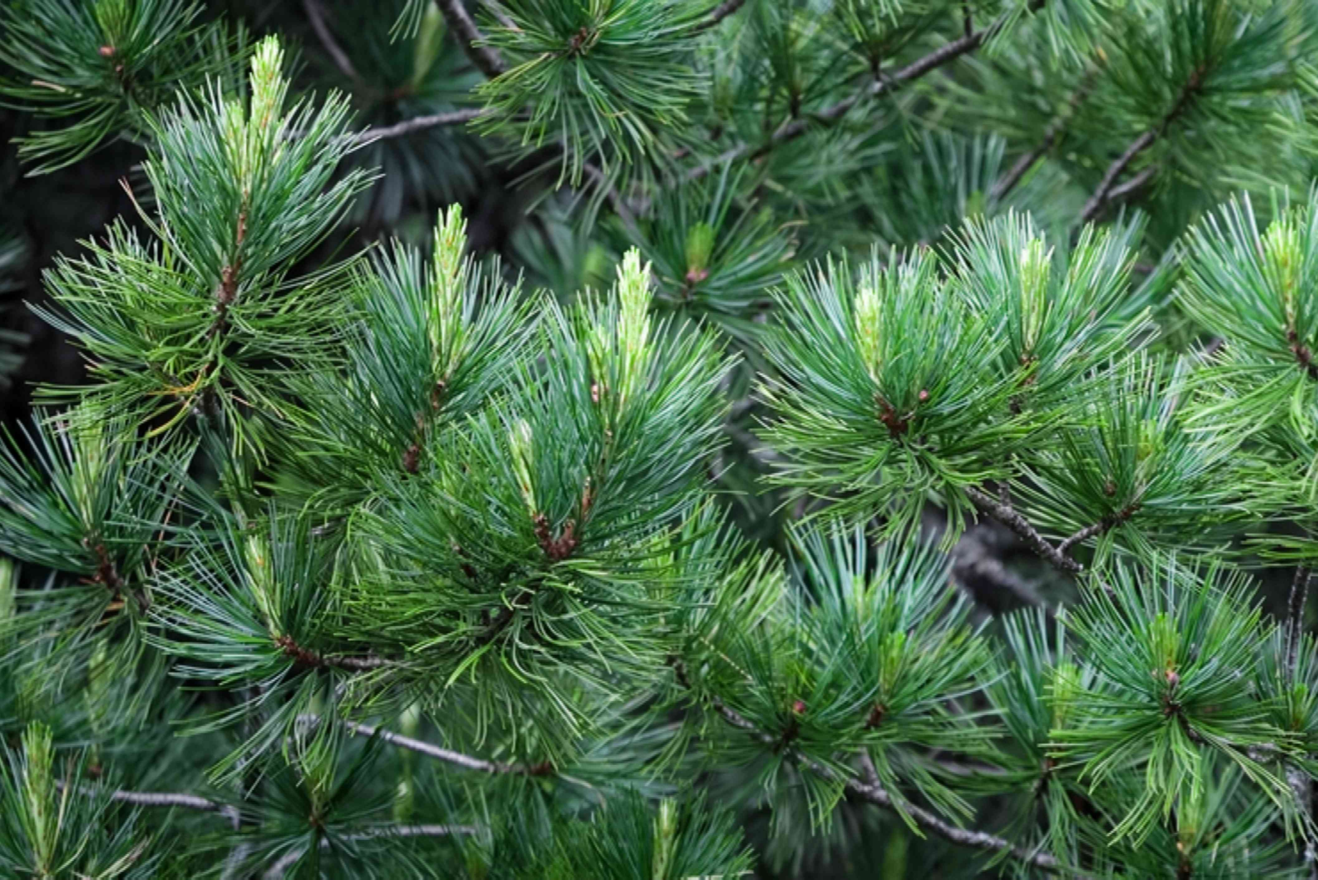 Stone pine tree branches with green needles and new growth closeup