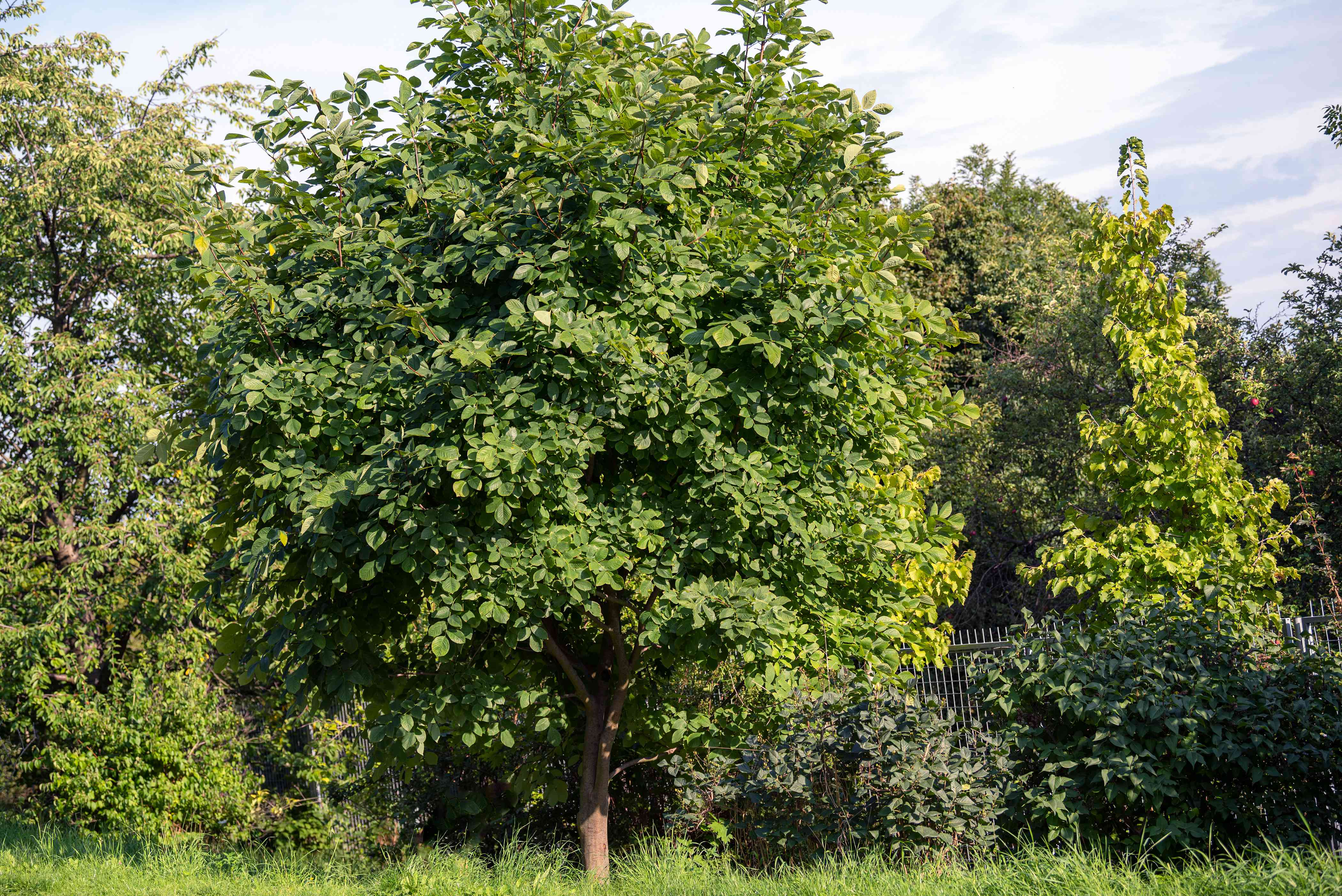 Yellowwood tree with full of branches with green leaves in front of wooded area