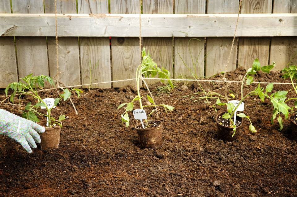 how to set up tomatoes plants