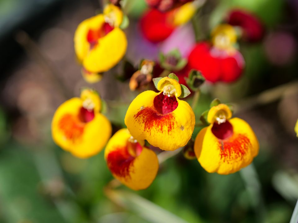 Close up of an orange/yellow Calceolaria
