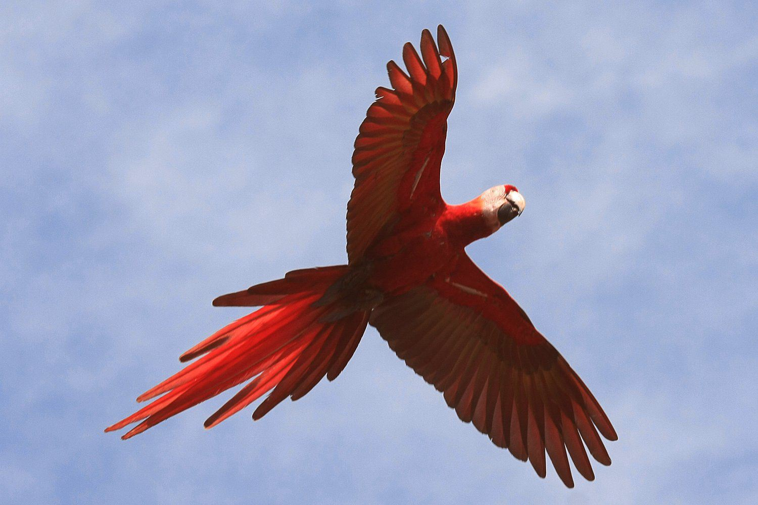 red scarlet macaw ce65f9b5874ee4be657