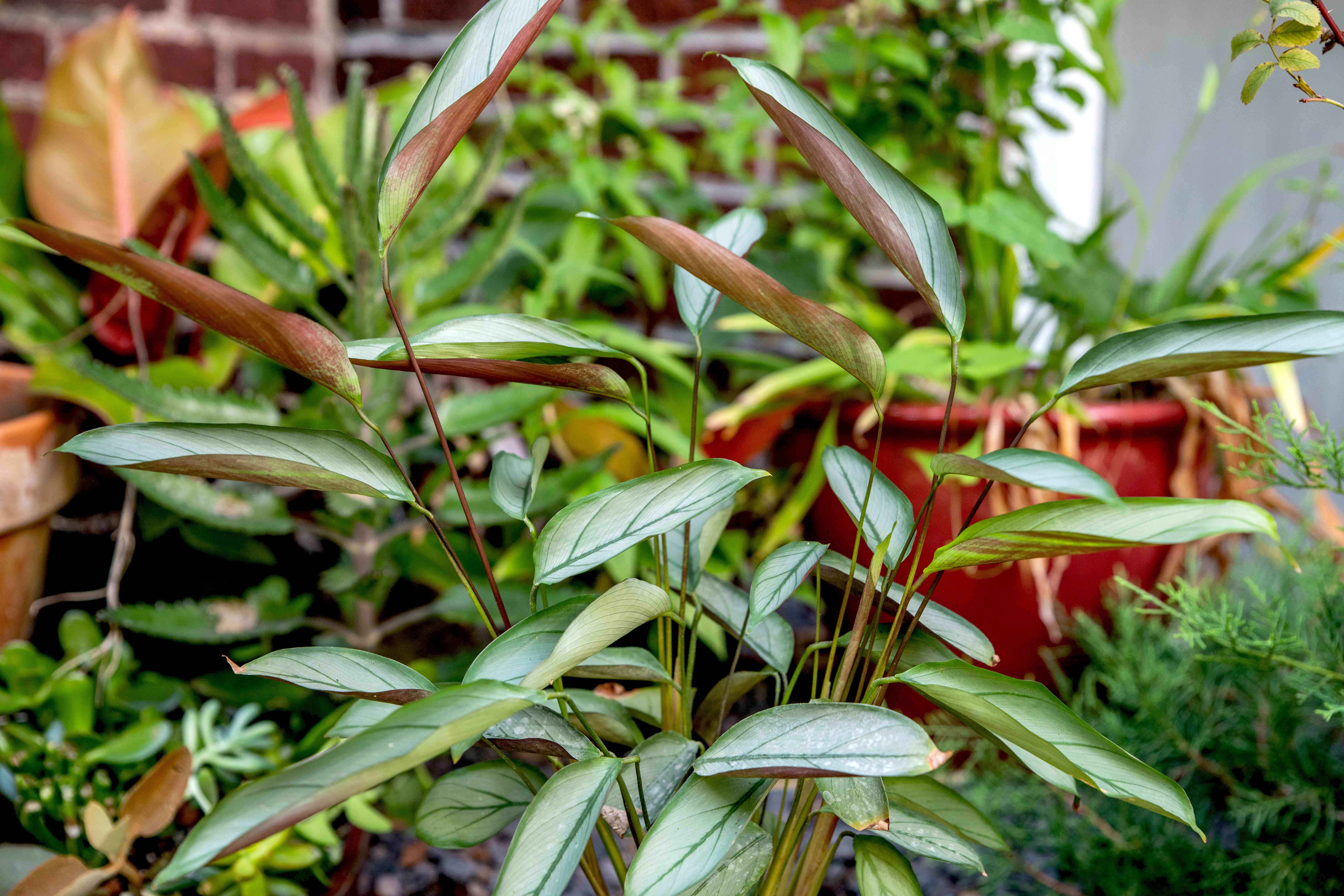 Ctenanthe setosa grey star plant with thin stems and thick clustered leaves in garden