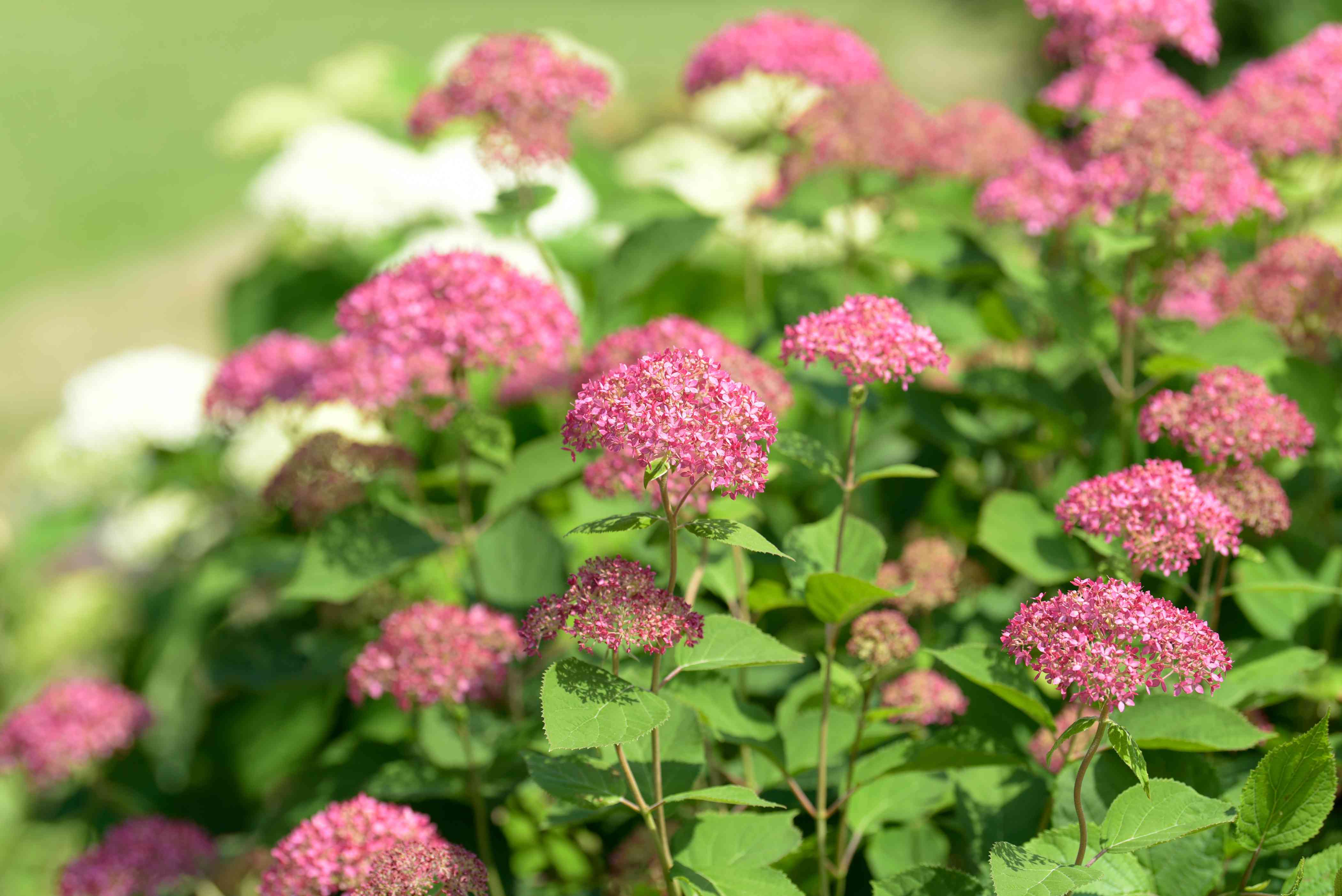 Invincibelle spirit hydrangea shrub with small pink flower heads clustered on thin stems in sunlight