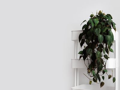 A philodendron micans sitting in a white utility cart against a white wall.