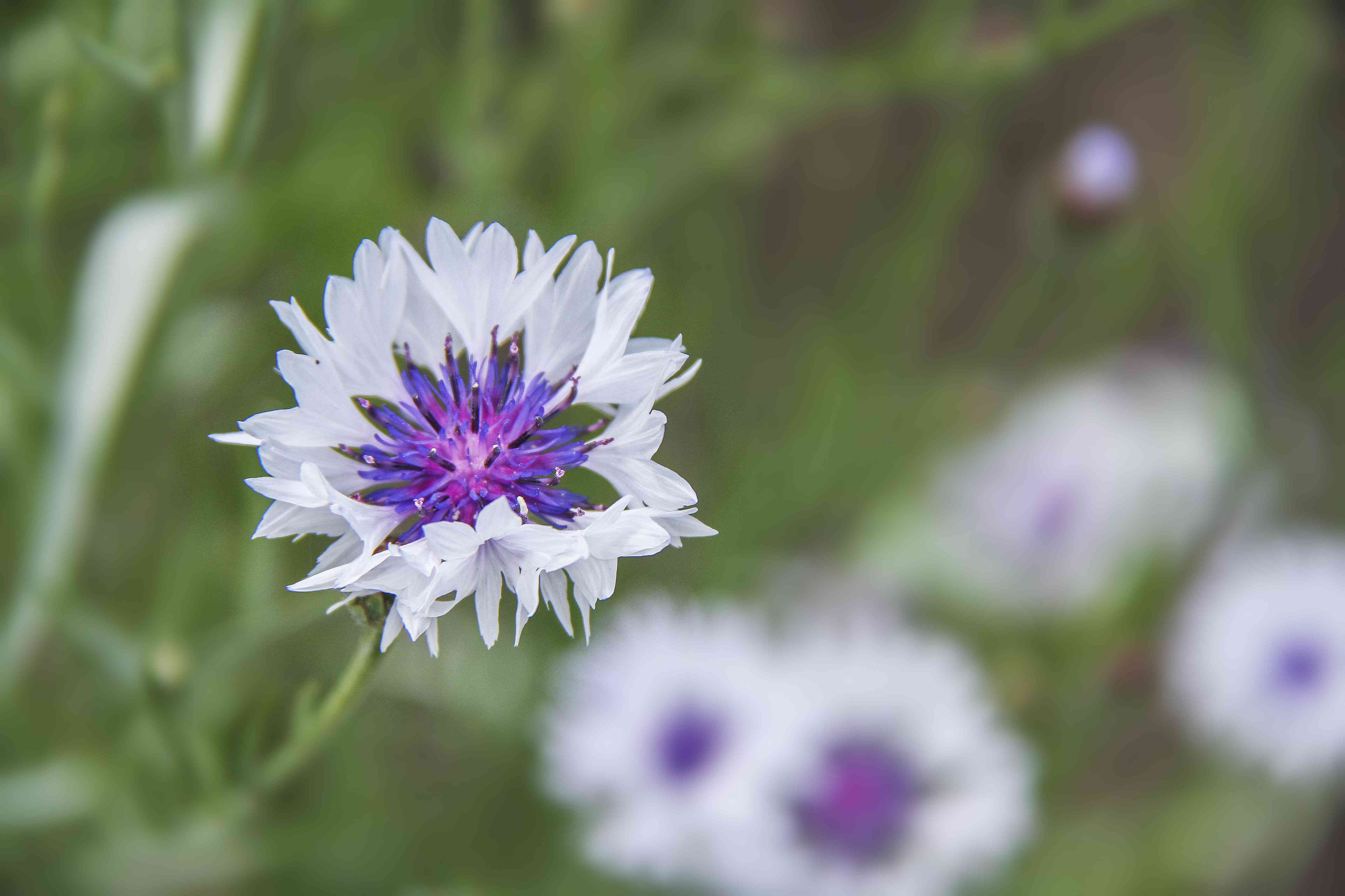 Cornflower or Bachelor's Button