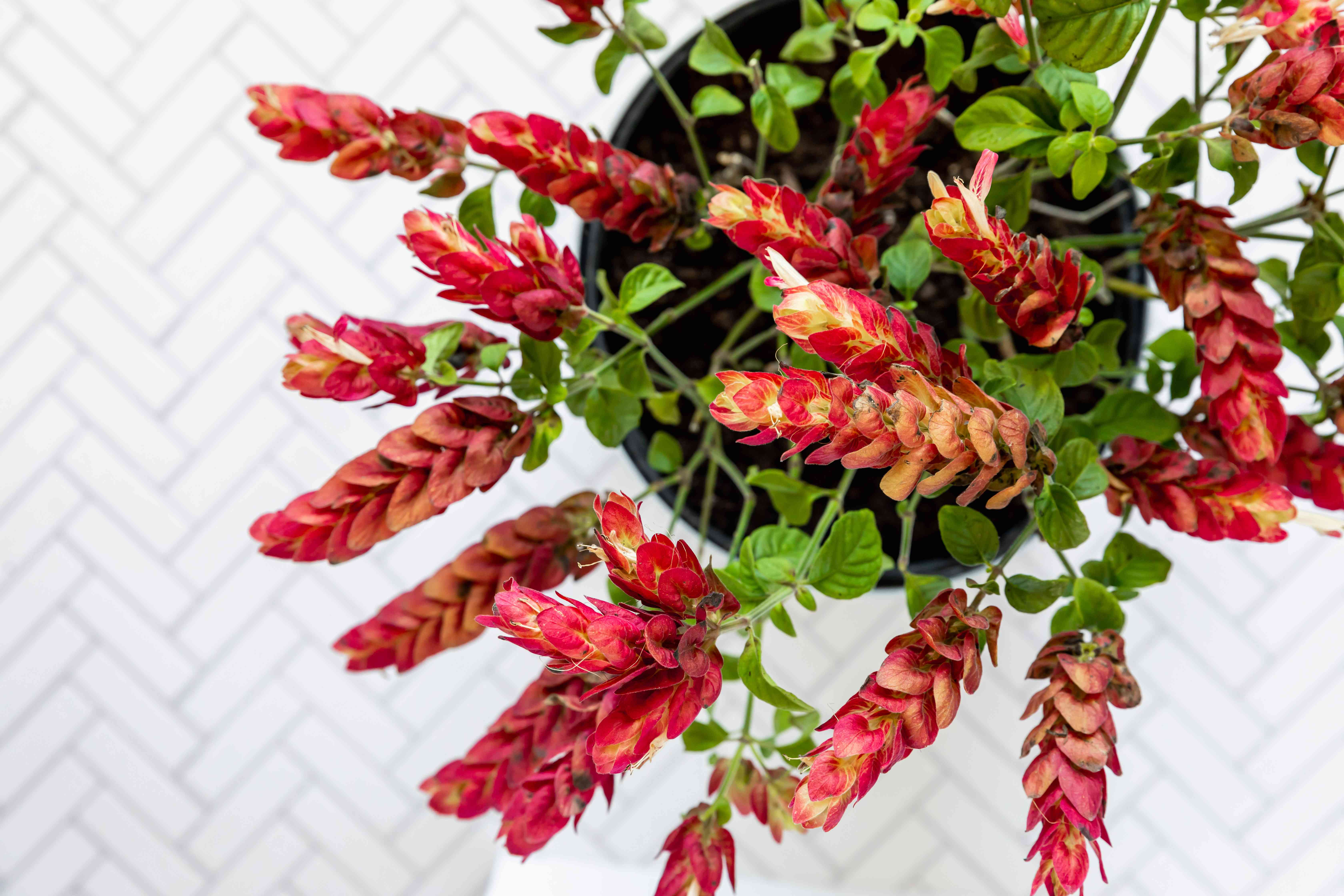 Justicia brandegeana shrimp plant with red and yellow bracts seen from above