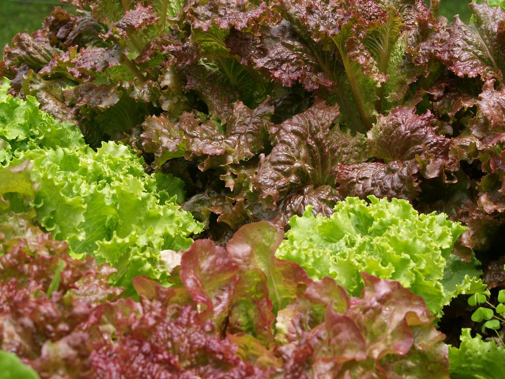 Growing Organic Lettuce - The Complete Guide