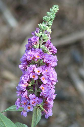 Imagen del arbusto de mariposas. Como muestra esta foto del arbusto de mariposas, esta perenne viene en lavanda