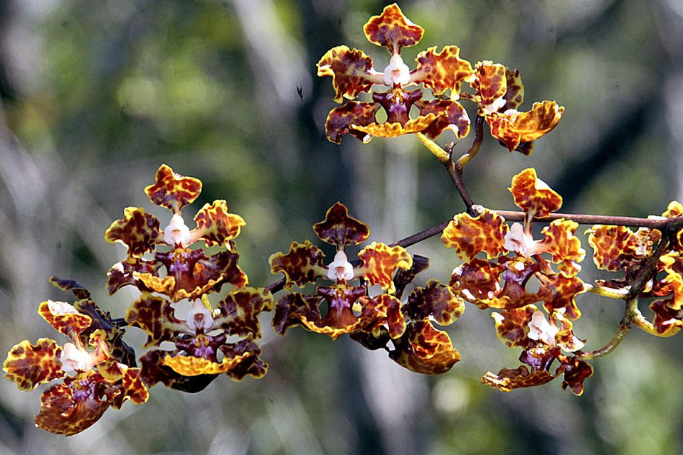 These uncommon orchids are nonetheless beautiful.