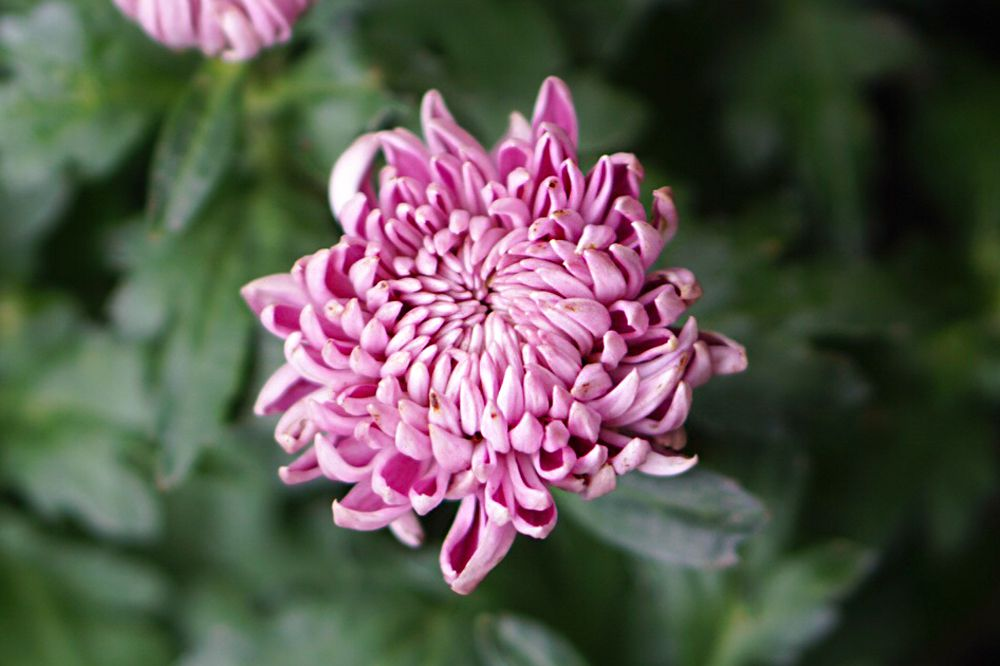Spider mum plant with pink tubular petals clustered together closeup