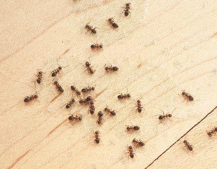 The Liquid Ant Bait That Controls Little Black Ants