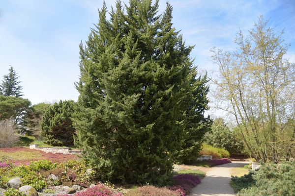 Chinese juniper 'monarch' tree in middle of garden and by pathway