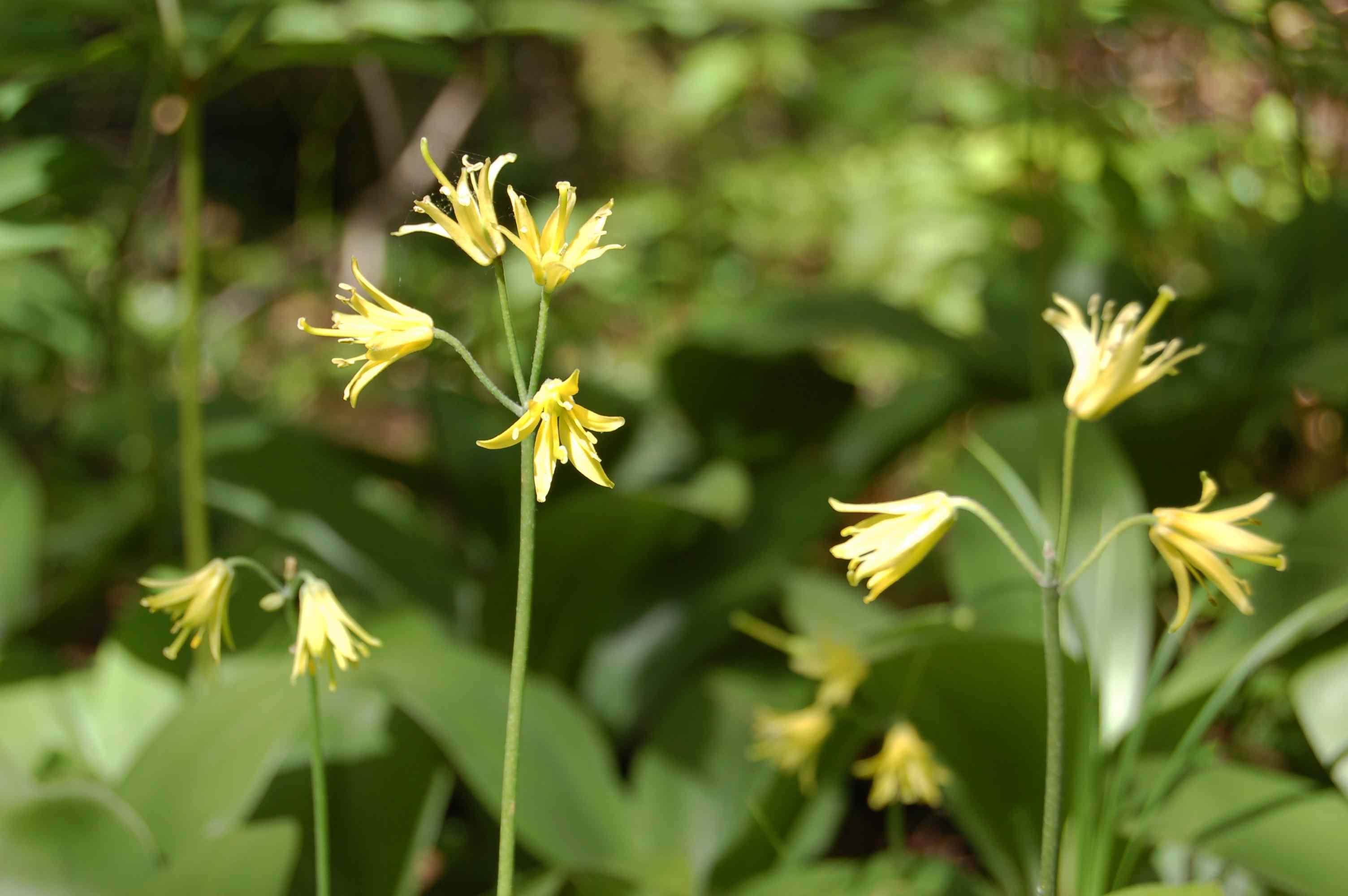 Clintonia Borealis in the Sunshine