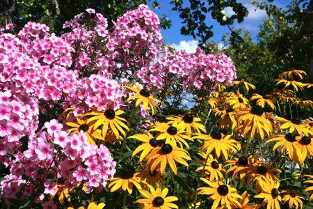 tall garden phlox growing in mixed border with rudbeckia fulgida - Tall Garden Phlox
