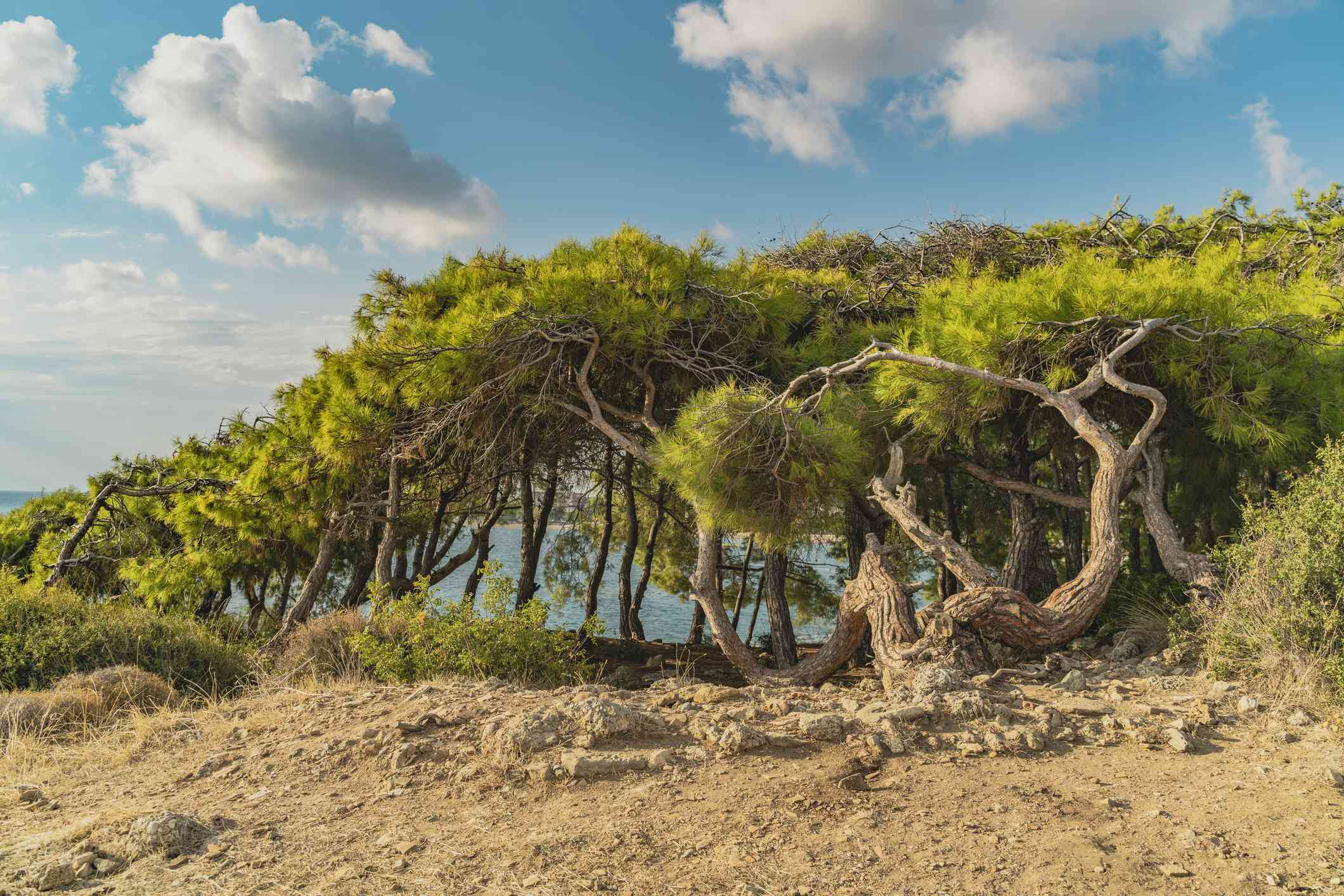 Beautiful landscape with turkish pine, sea on the background and nice blue sky with clouds. Green pinus brutia with flat crowns and crooked trunks look enormous.