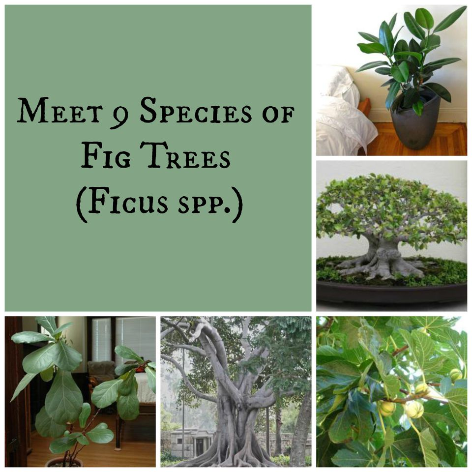 Fig trees belong to the Ficus genus