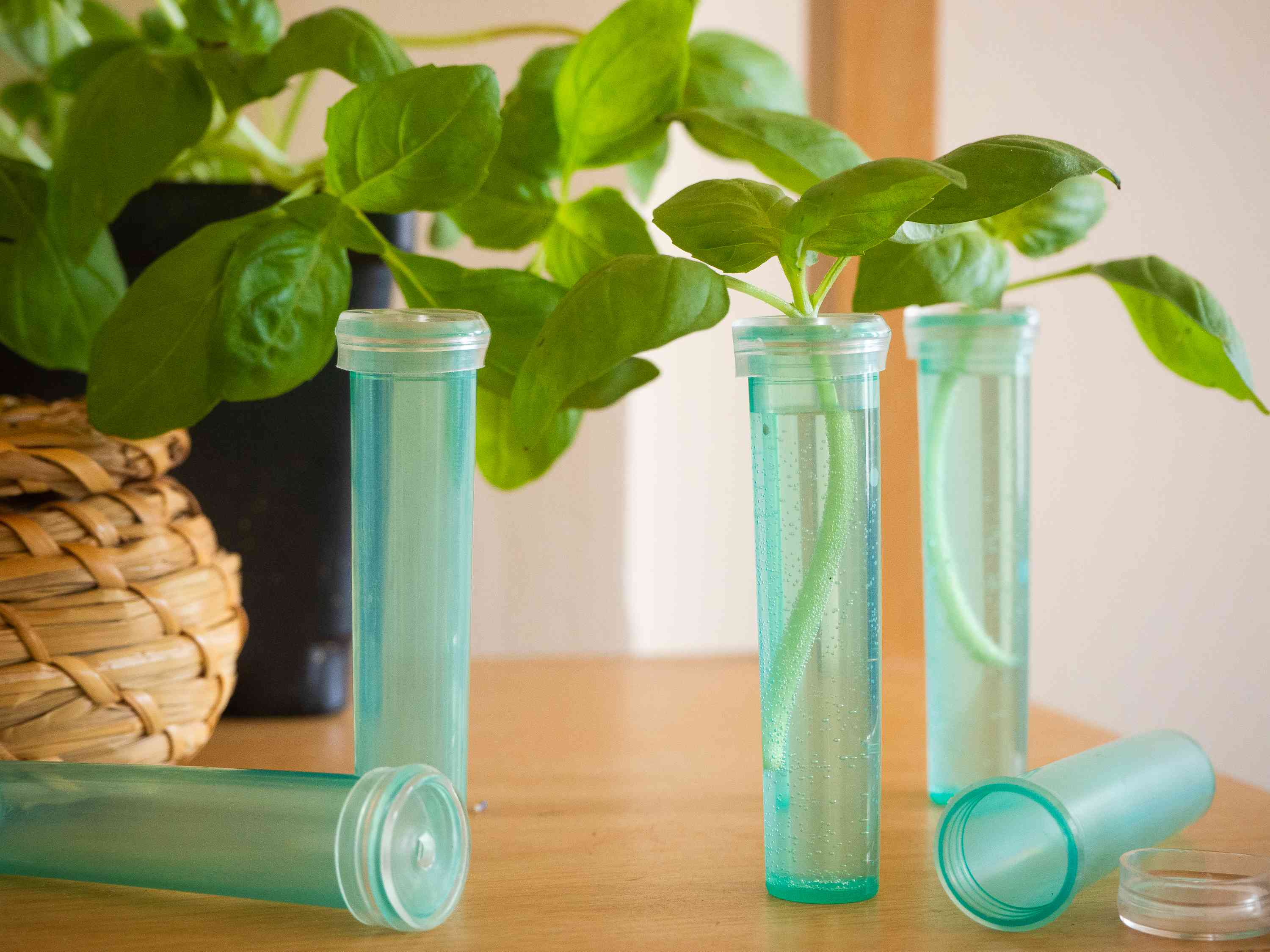 Basil garden plant cuttings in blue floral tubes with water closeup