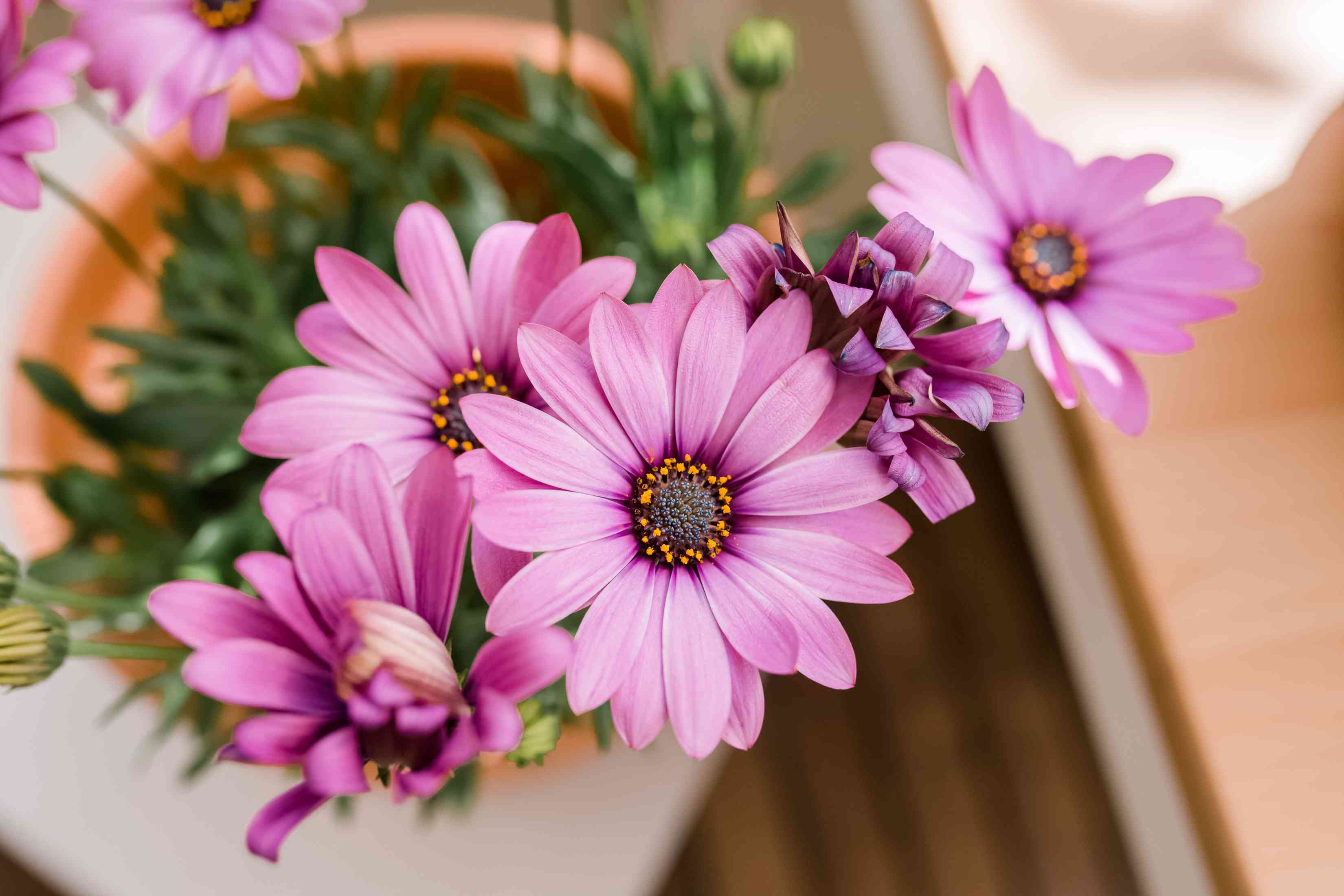 Passion Mix African daisies