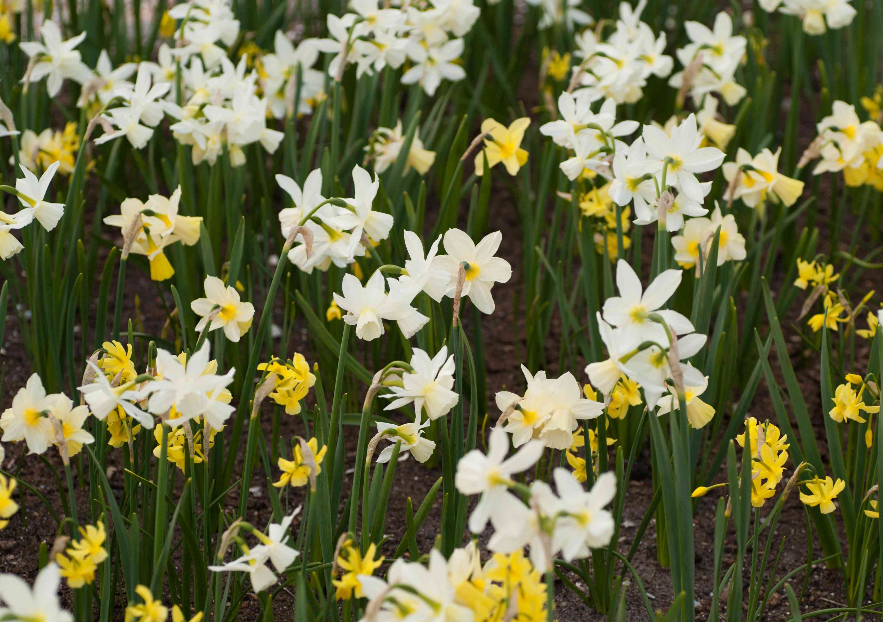 Triandrus daffodil with white flowers and yellow hanging bells
