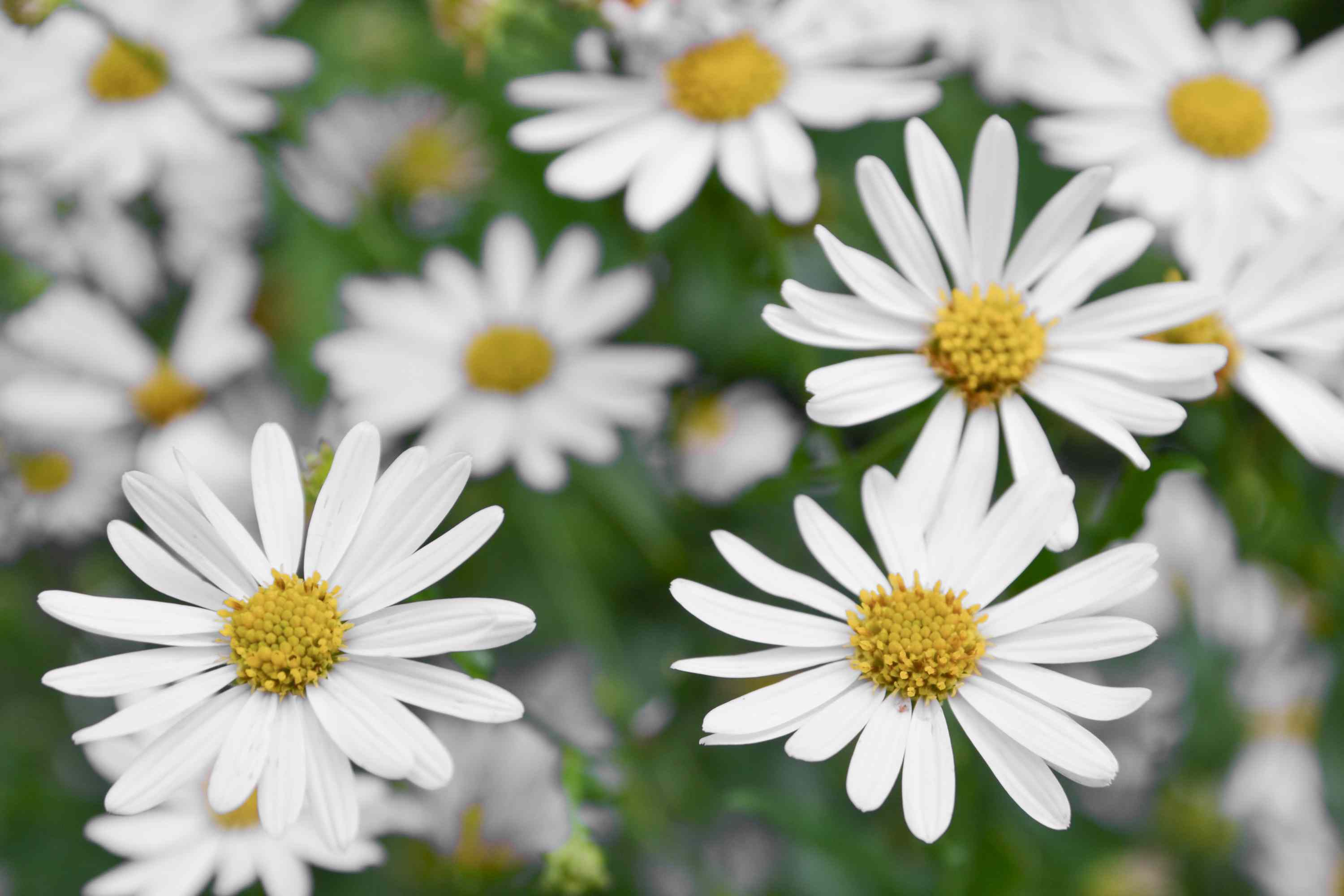 Mexican fleabane flowers with white daisy-like petals and yellow pollen centers closeup